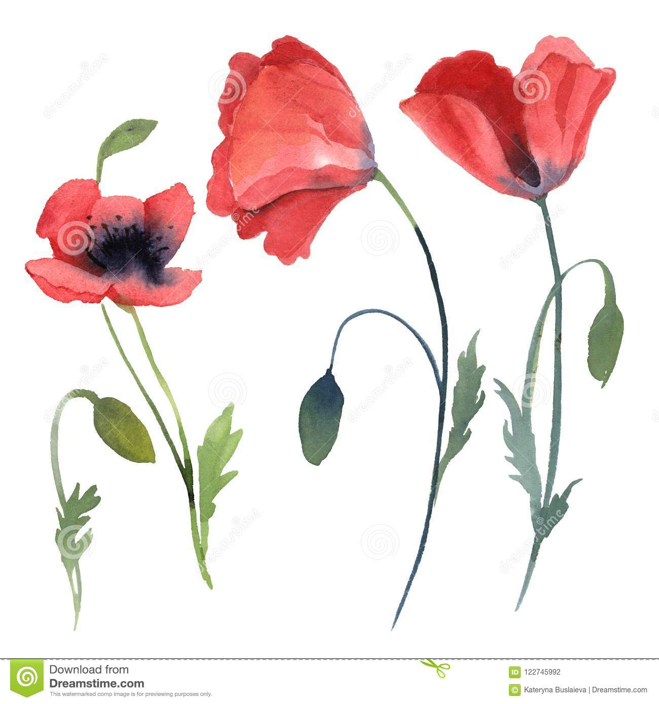 Set of red poppy flowers, leaves isolated on white background