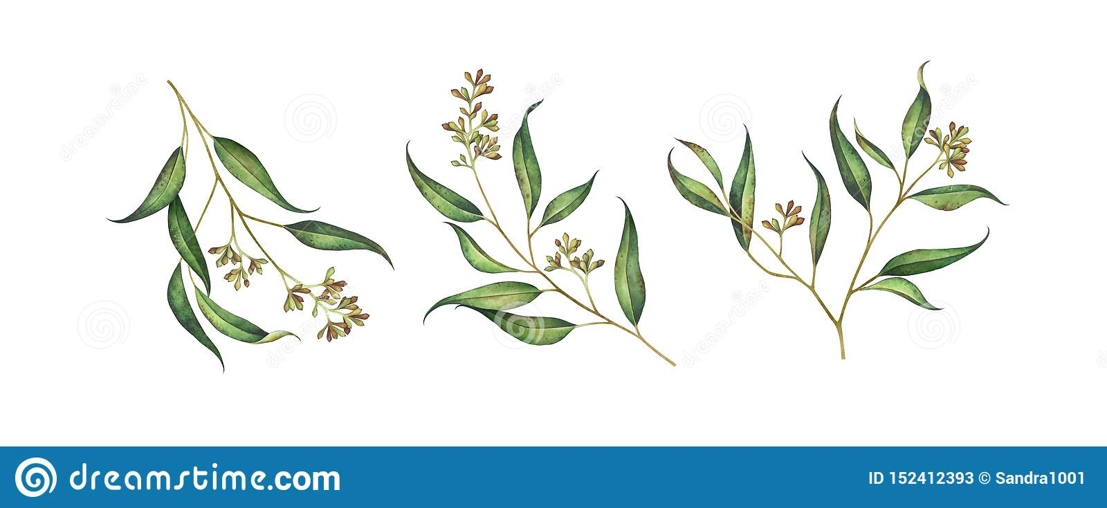 Set of seeded eucalyptus branches isolated on white background.