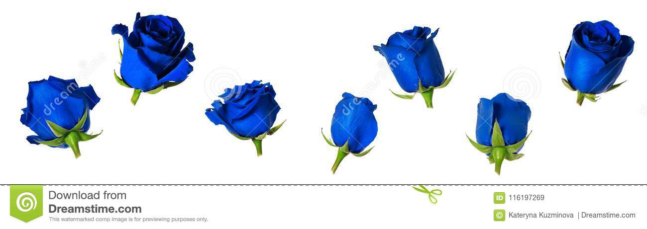 Set of seven beautiful blue rose flowerheads with sepals isolated on white background.