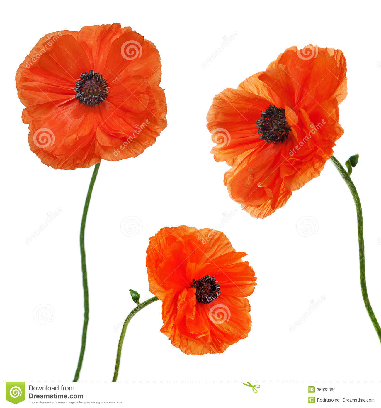 Set Of Single Poppy Flowers Isolated On White Background Stock