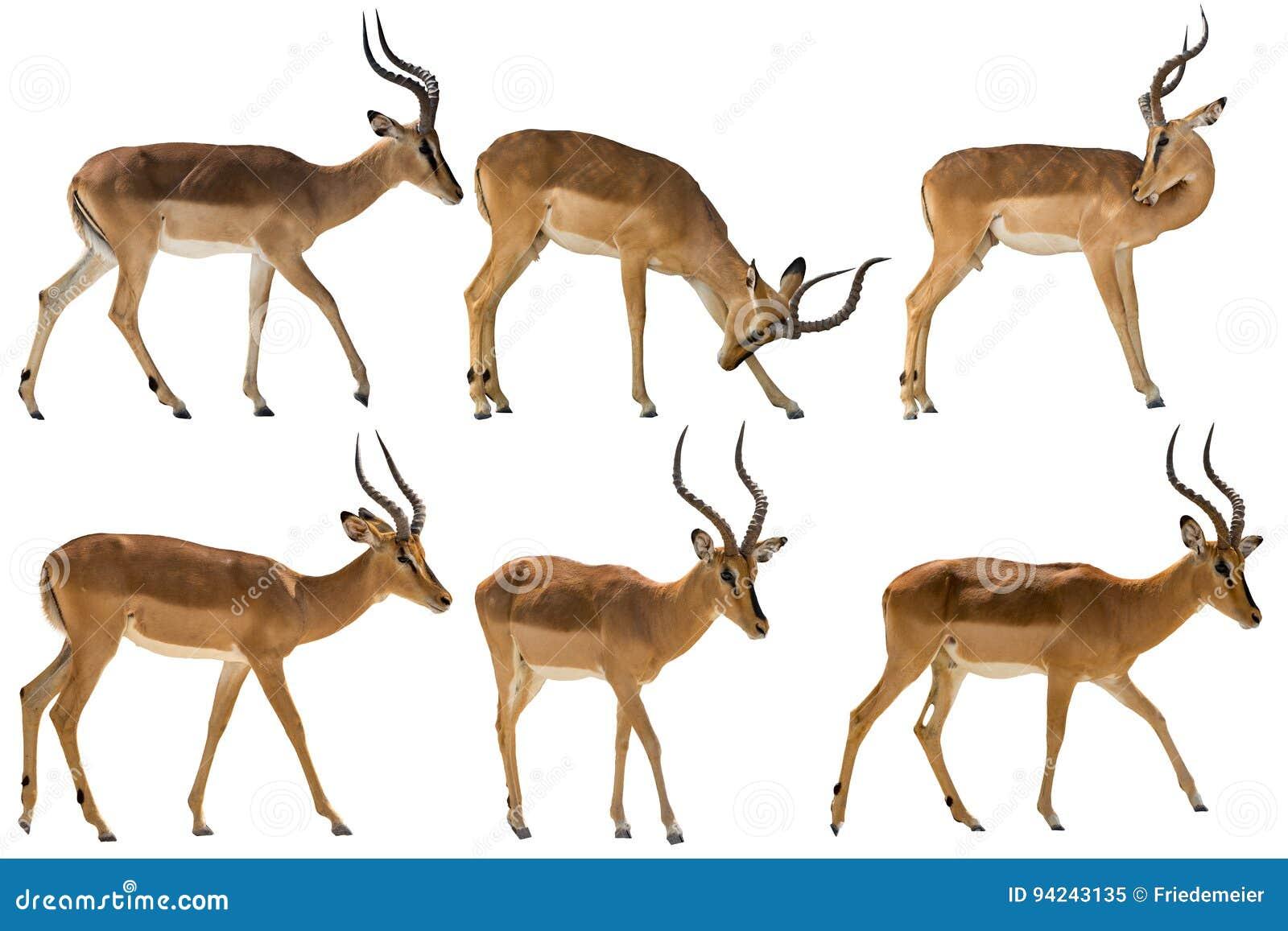 Set of six blackfaced impala