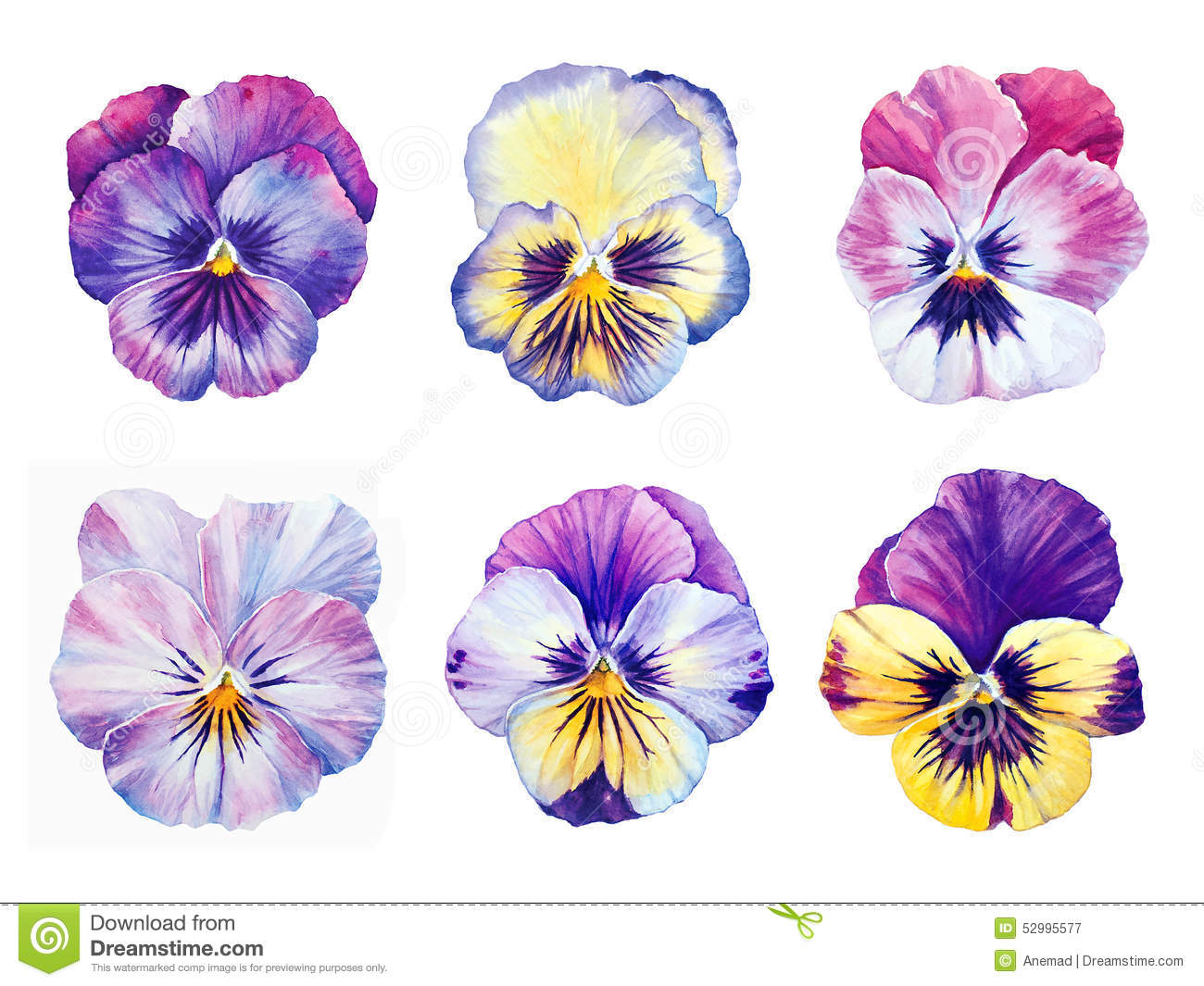 Set Of Six Watercolor Pansies Stock Illustration Image 52995577