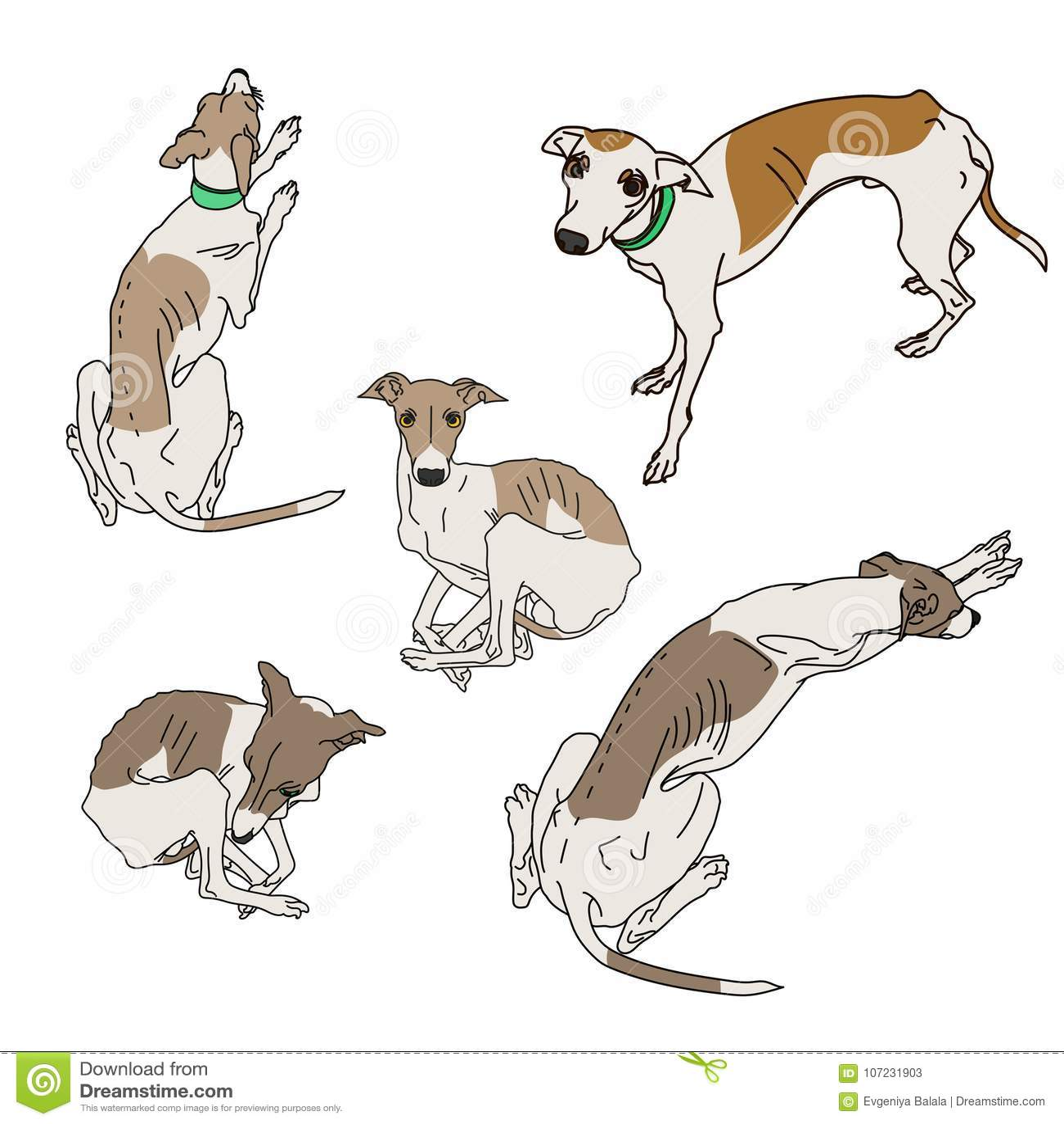 Set of skinny Italian Greyhounds.