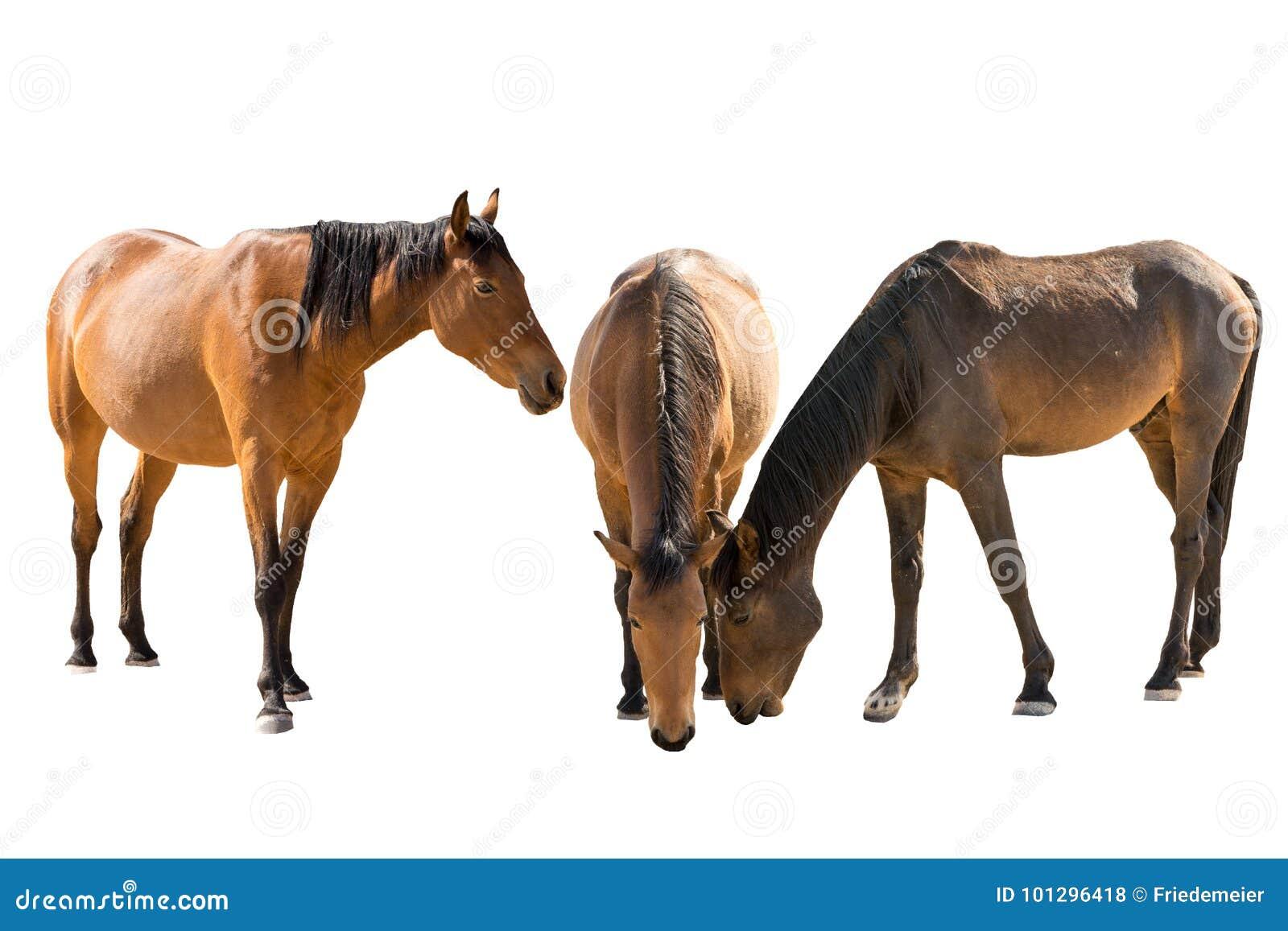 Set of three namibian wild horses portraits