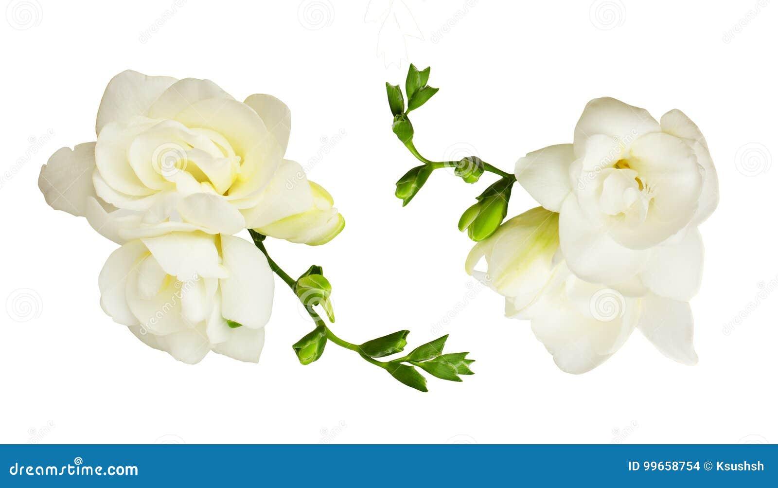 Set Of White Freesia Flowers Stock Photo Image Of Fresh Freesia