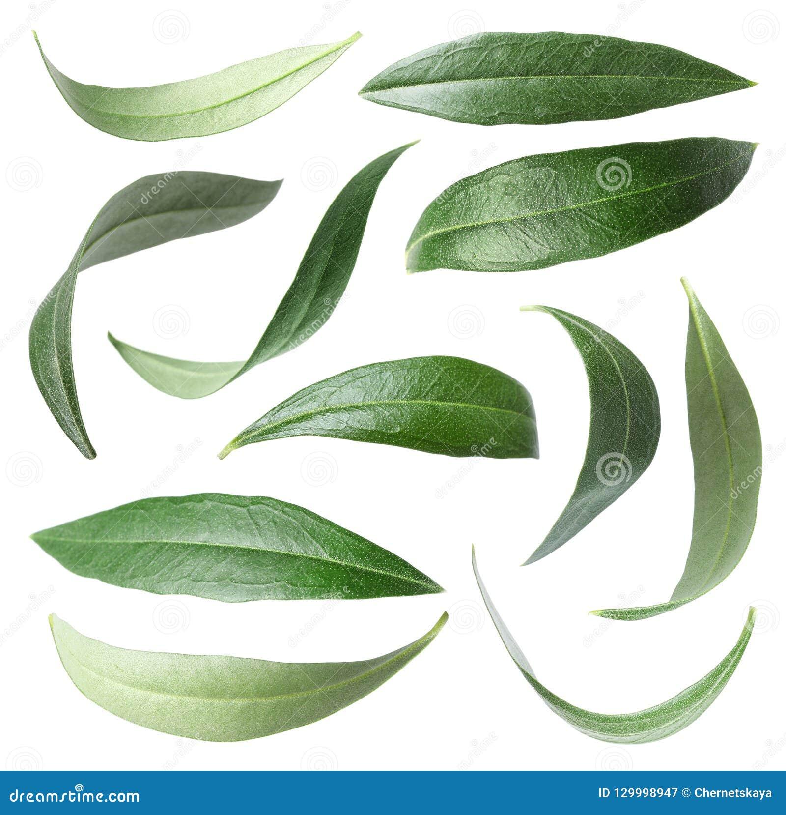 Set z zielonej oliwki liśćmi