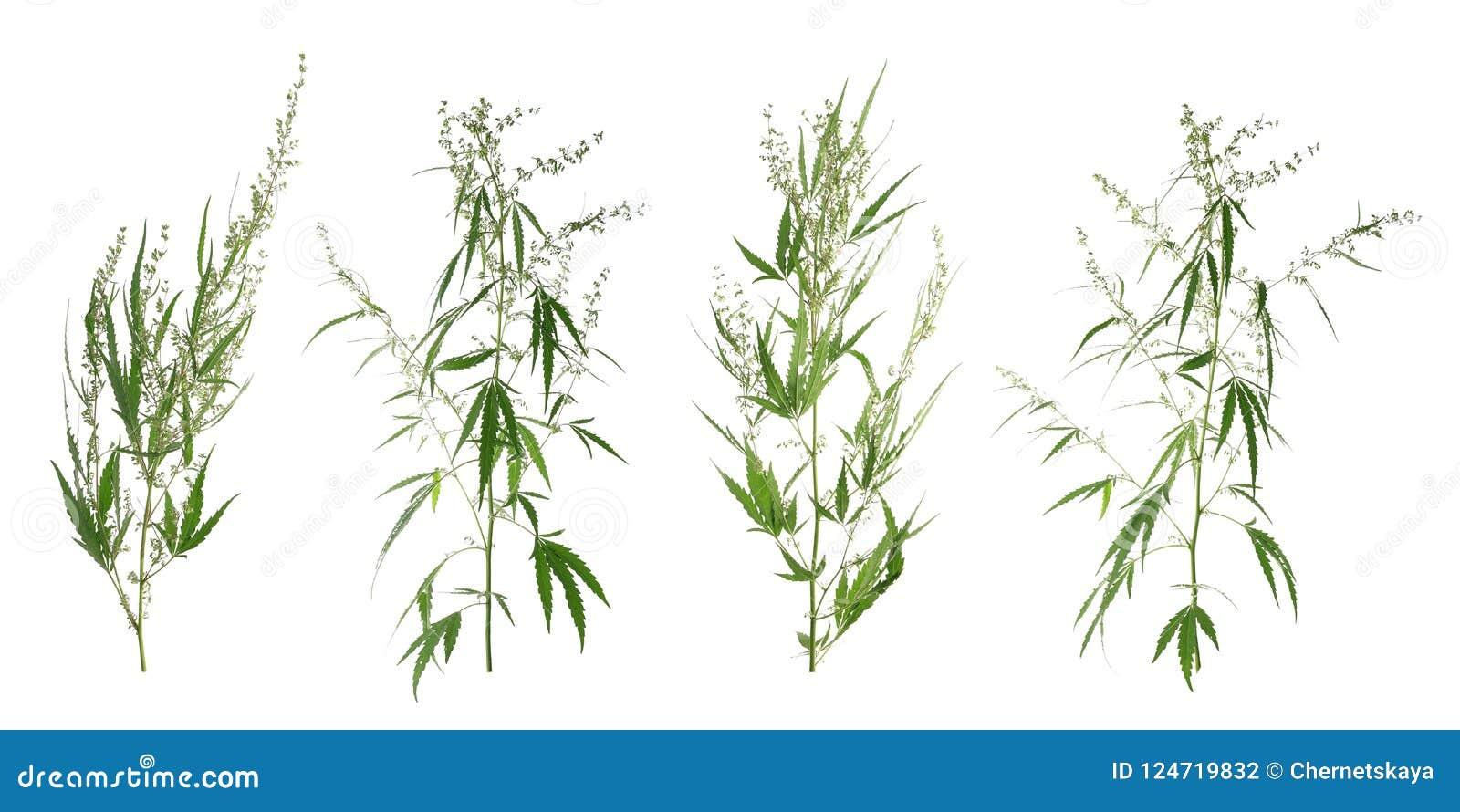 Set z zielonymi konopianymi roślinami