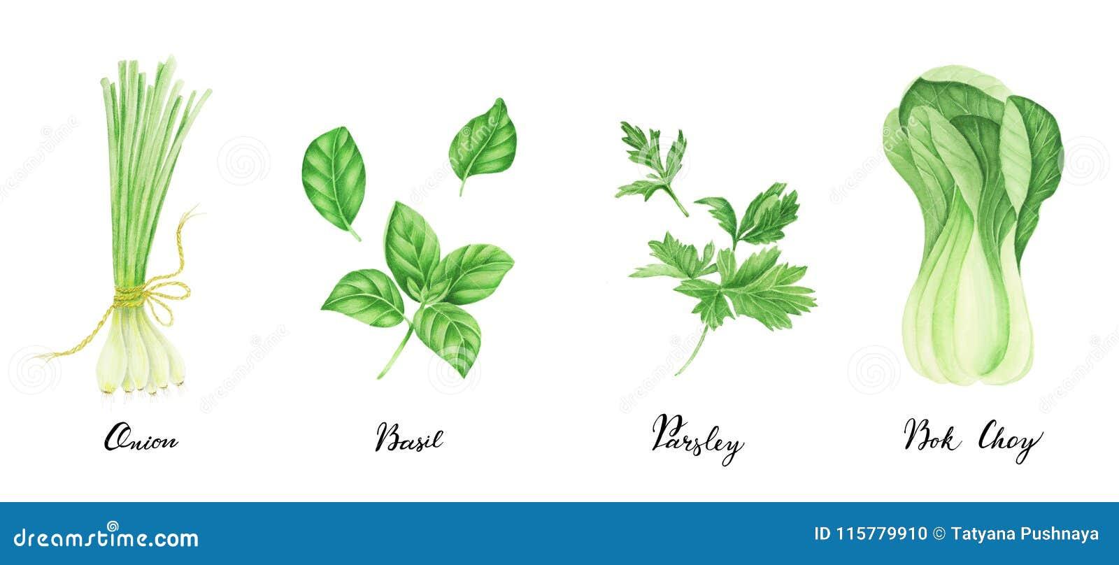 Set zieleni warzywa z literowaniem: cebula, pietruszka, basil i bok choy, akwarela obraz