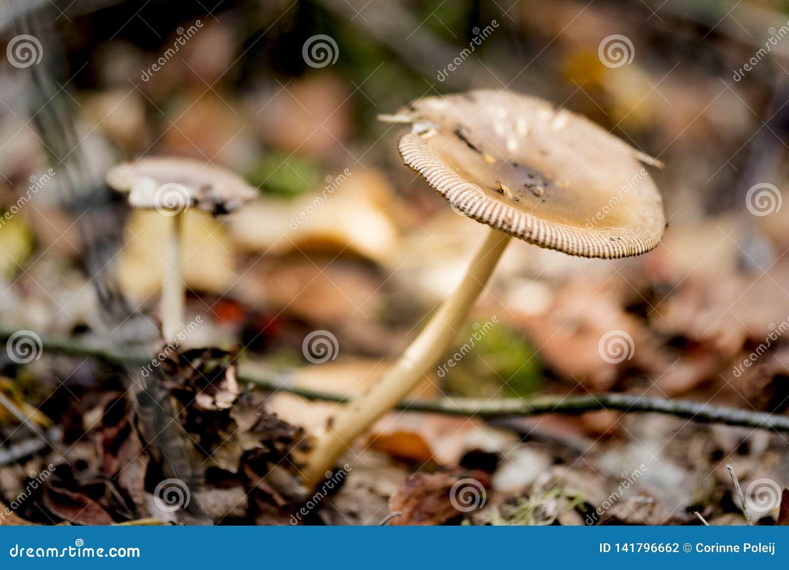 Seta ascendente cercana encontrada en el parque nacional Oisterwijkse Plassen, los Países Bajos