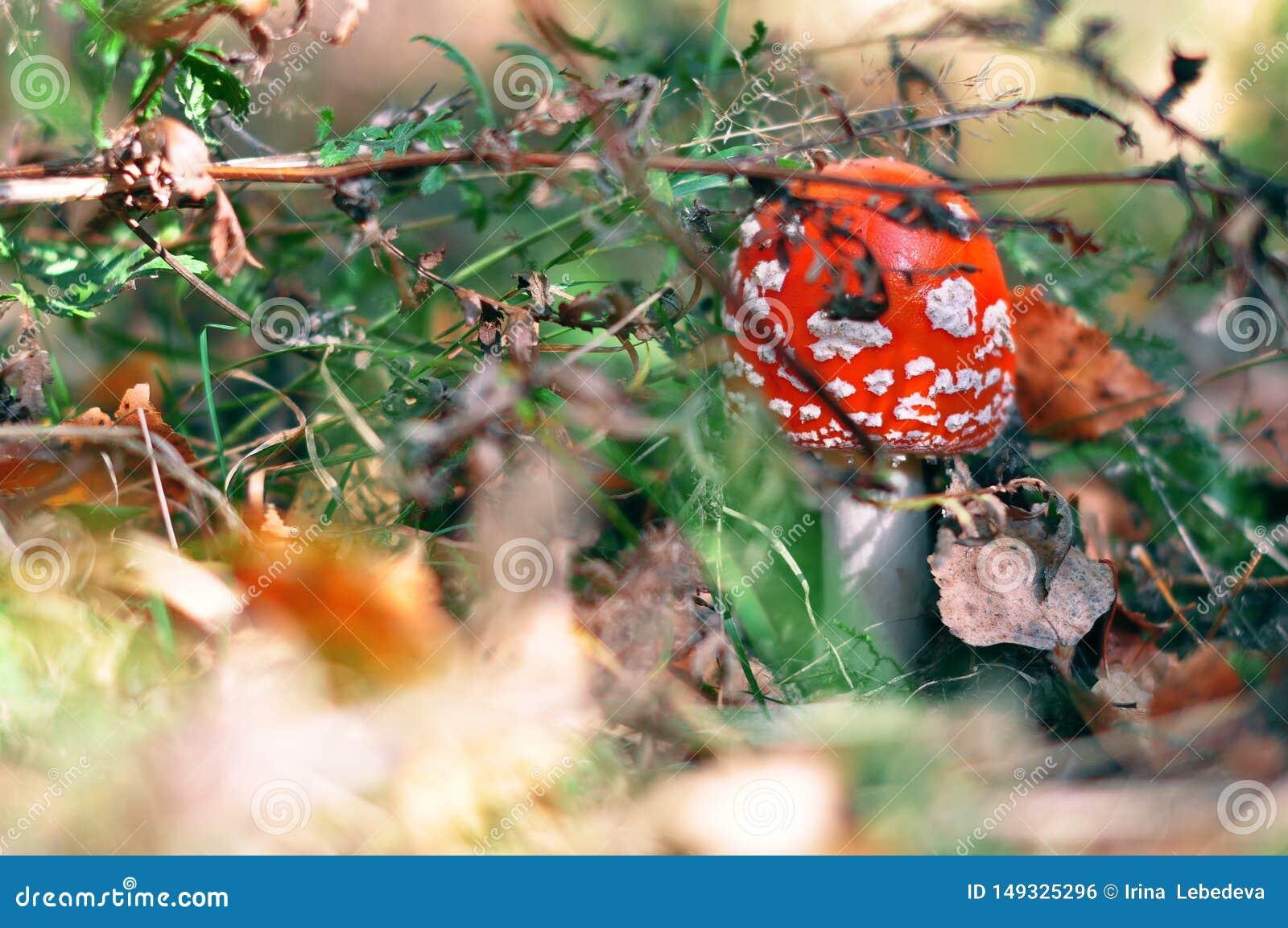 Seta roja venenosa de la seta que crece en un bosque salvaje del oto?o en la hierba