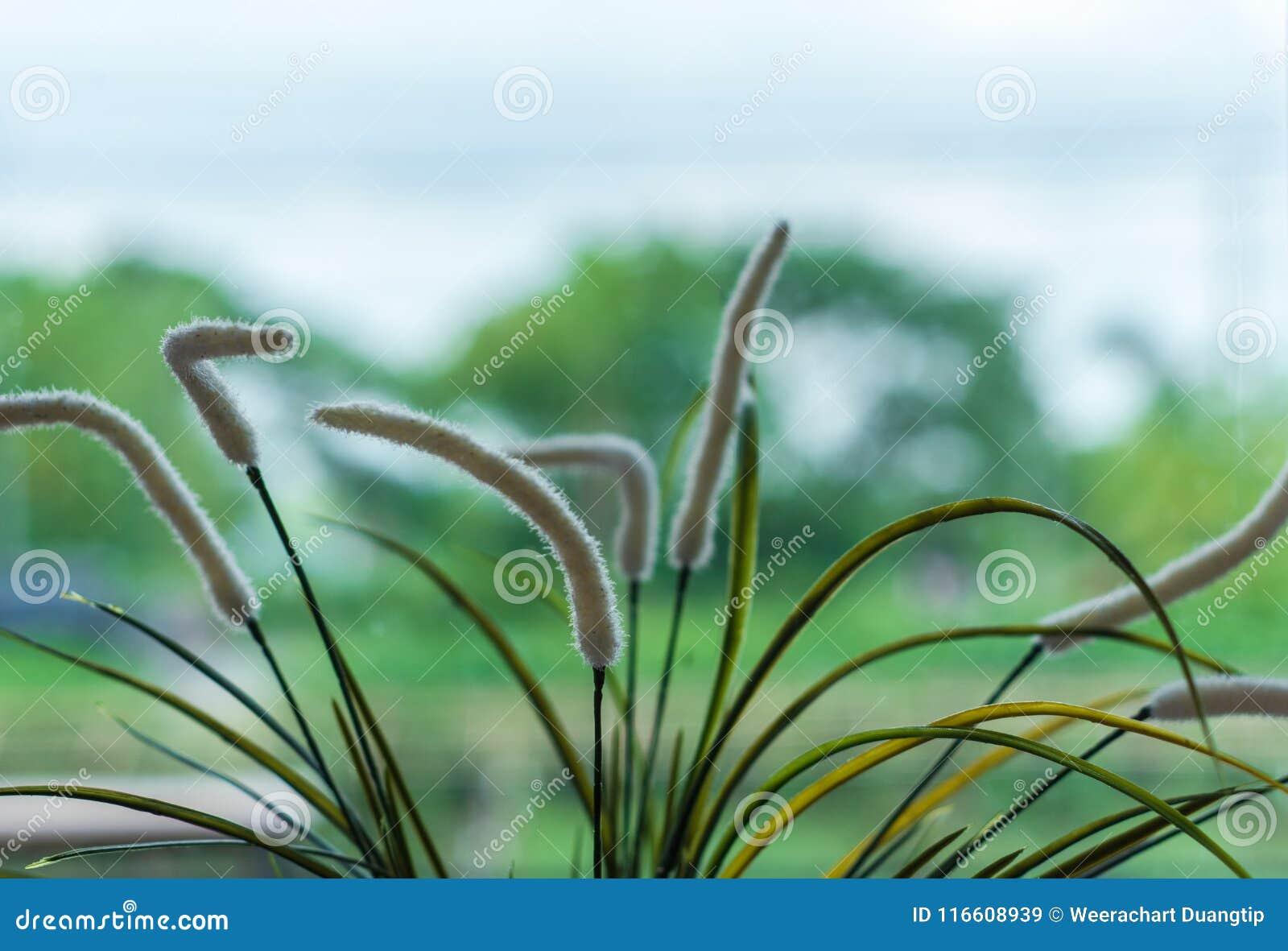 Setaria dell erba