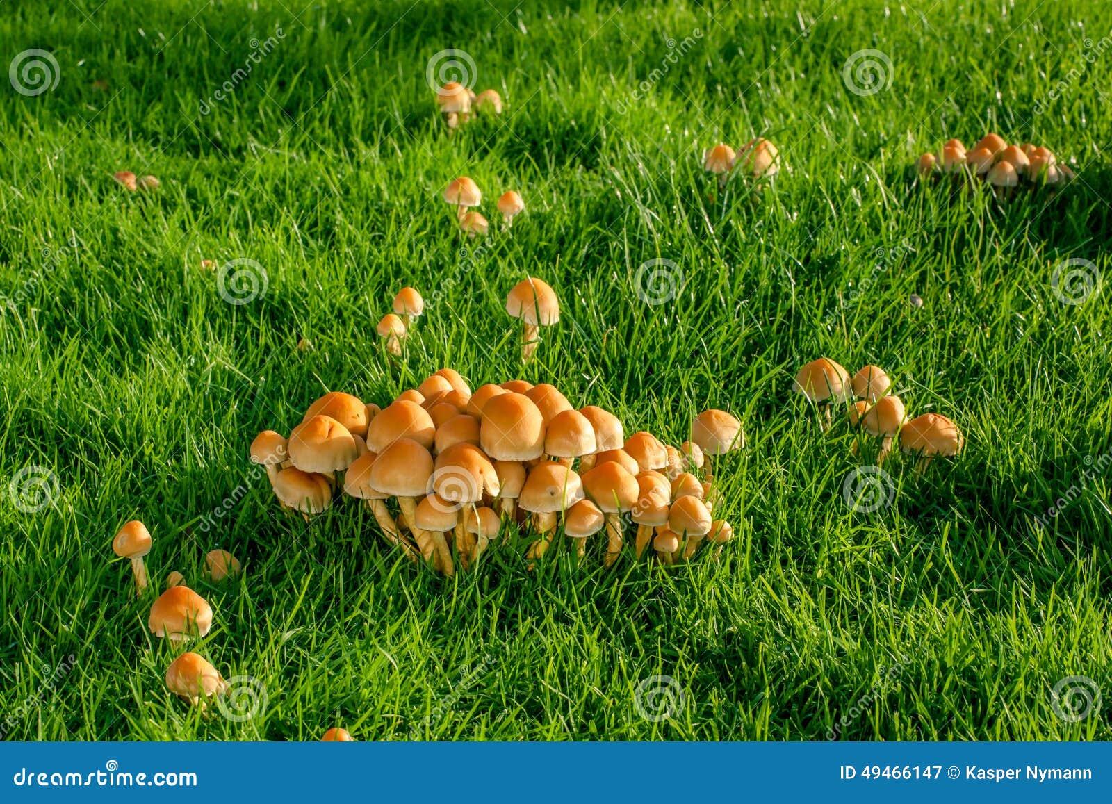 Setas en un c sped foto de archivo imagen 49466147 for Como se cocinan las setas