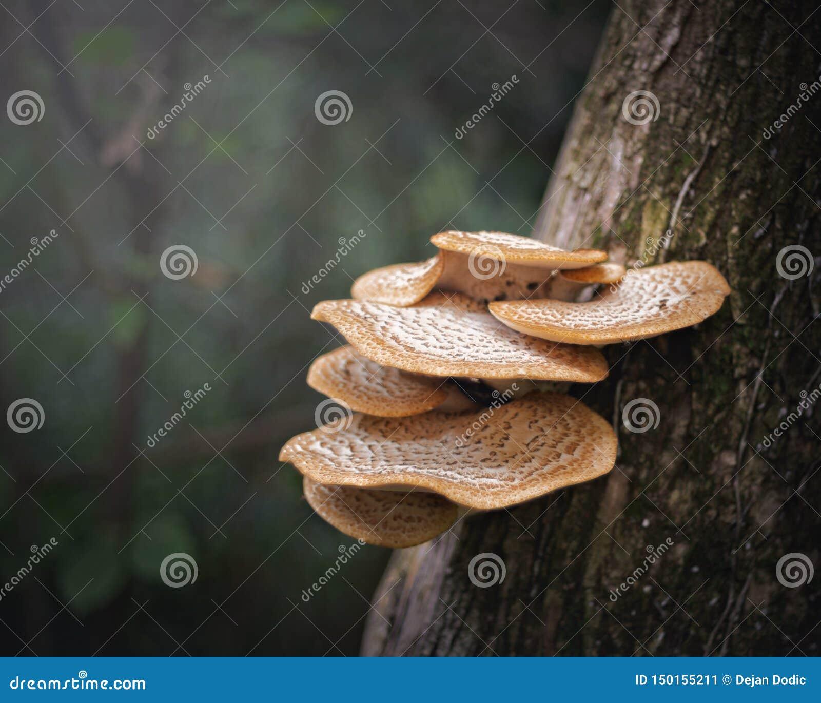 Setas fungosas de las setas del árbol