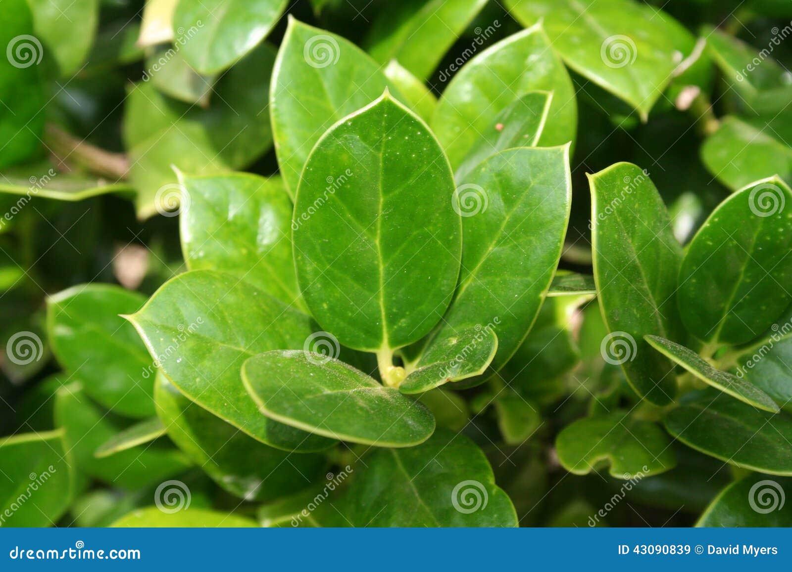 Seto rbol de hoja perenne primer imagen de archivo for Arboles para veredas hojas perennes
