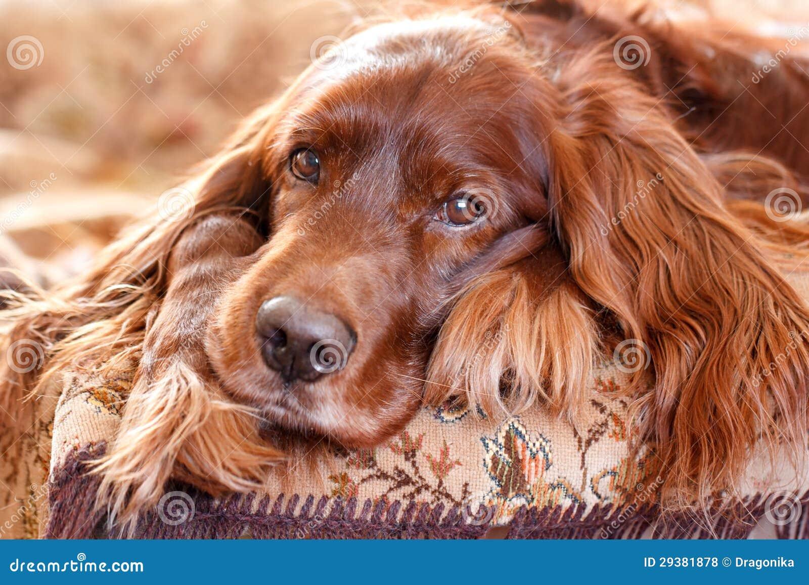Setter irlandese rosso fotografia stock immagine di cane for Cane setter