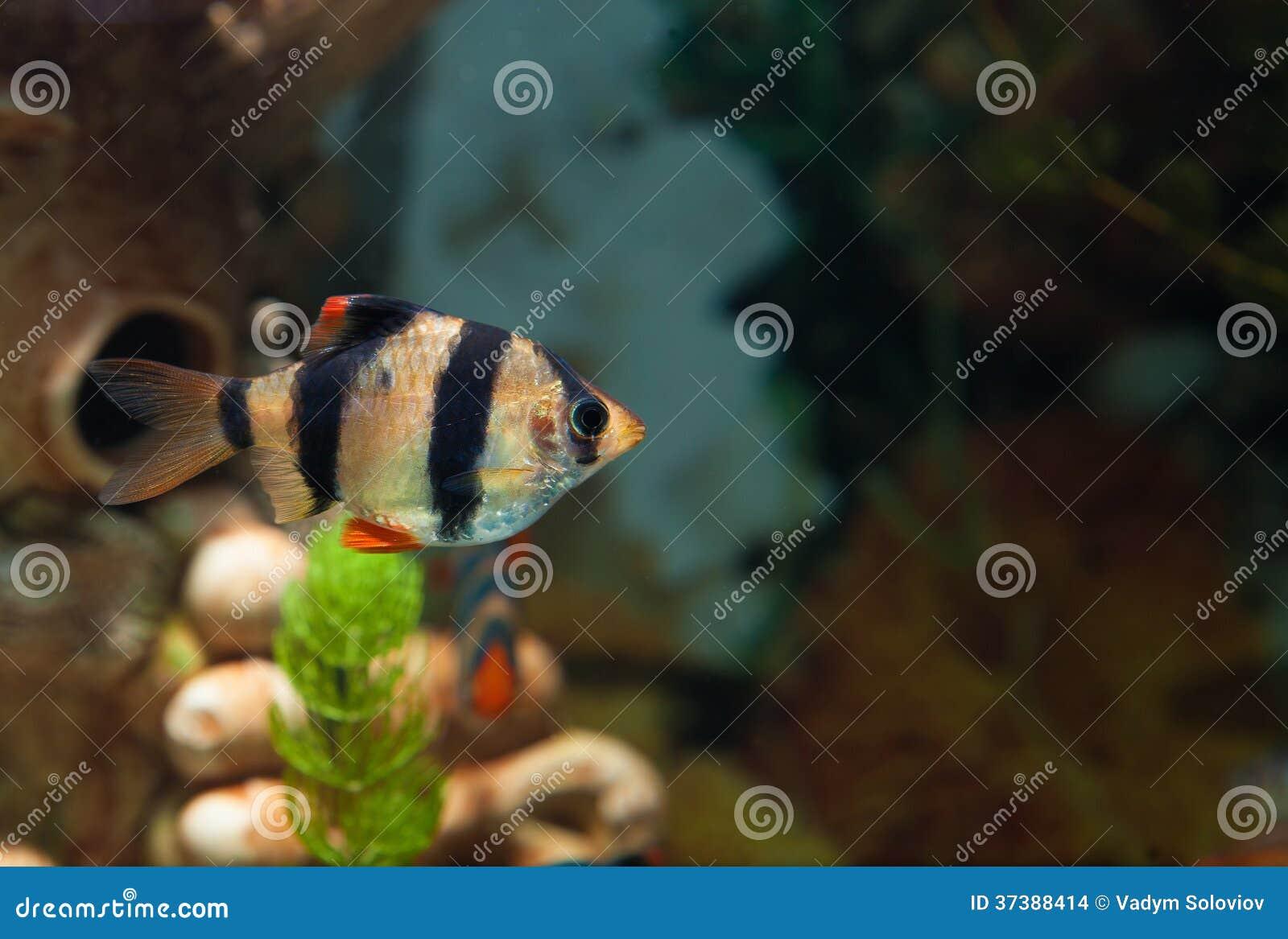 seul poisson d 39 eau douce de bavure de tigre dans l 39 aquarium images stock image 37388414. Black Bedroom Furniture Sets. Home Design Ideas