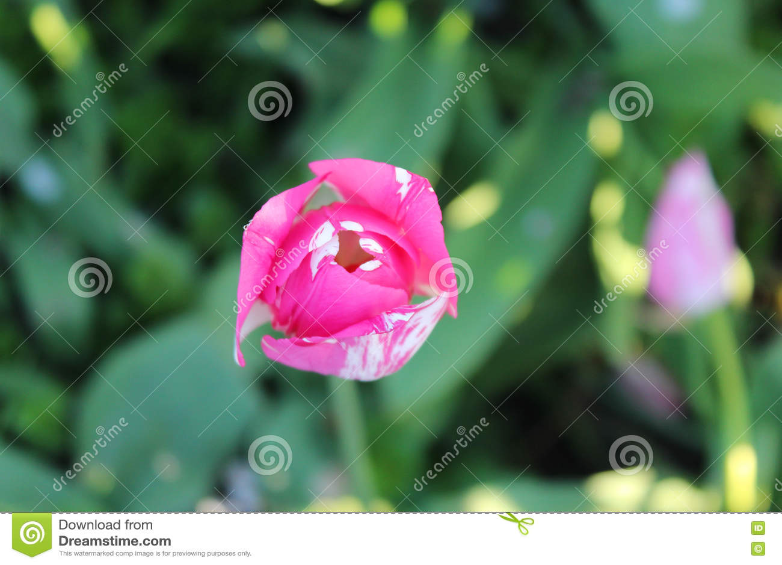 seule fleur de tulipe dans le jardin magenta et blanc vue de ci