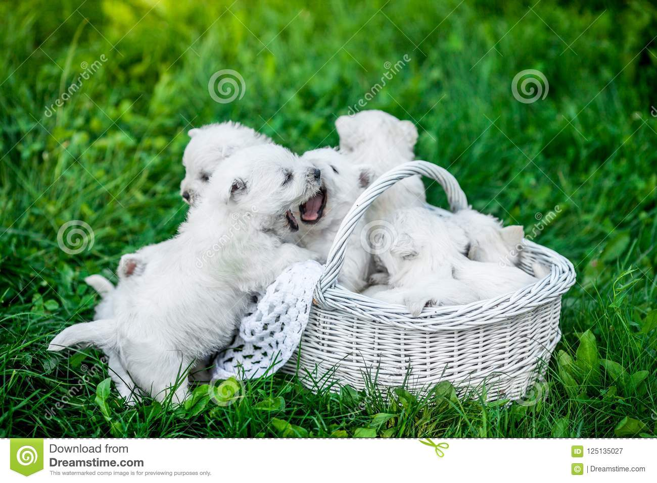 Seven Puppies West Highland White Terrier in a basket with beautiful lights at background
