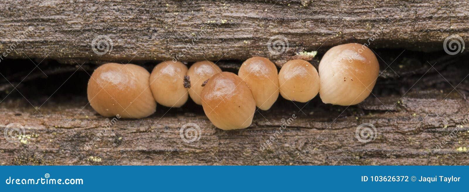 Seven tiny mushrooms on Southampton Common