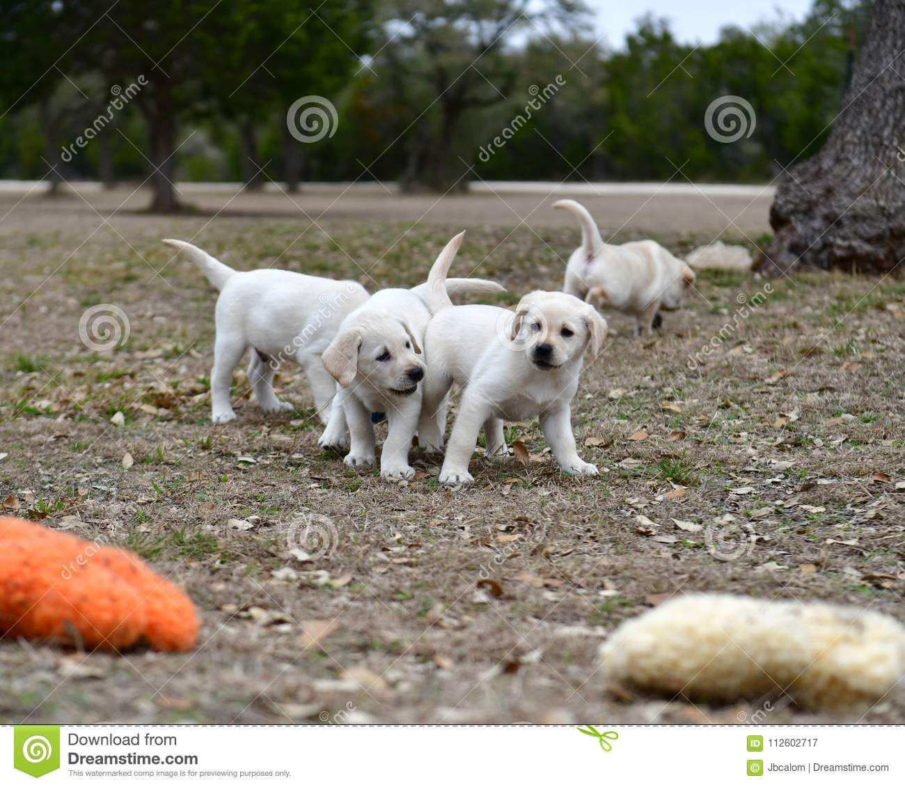 Very young Yellow Labrador Retriever Puppies playing outside for the first time