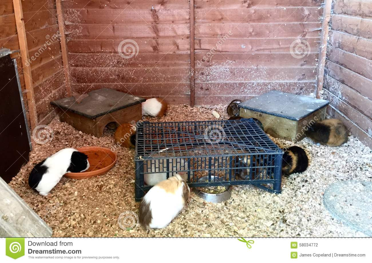 several guinea pigs large home run cage many pig pets being kept eating drinking sleeping playing 58034772