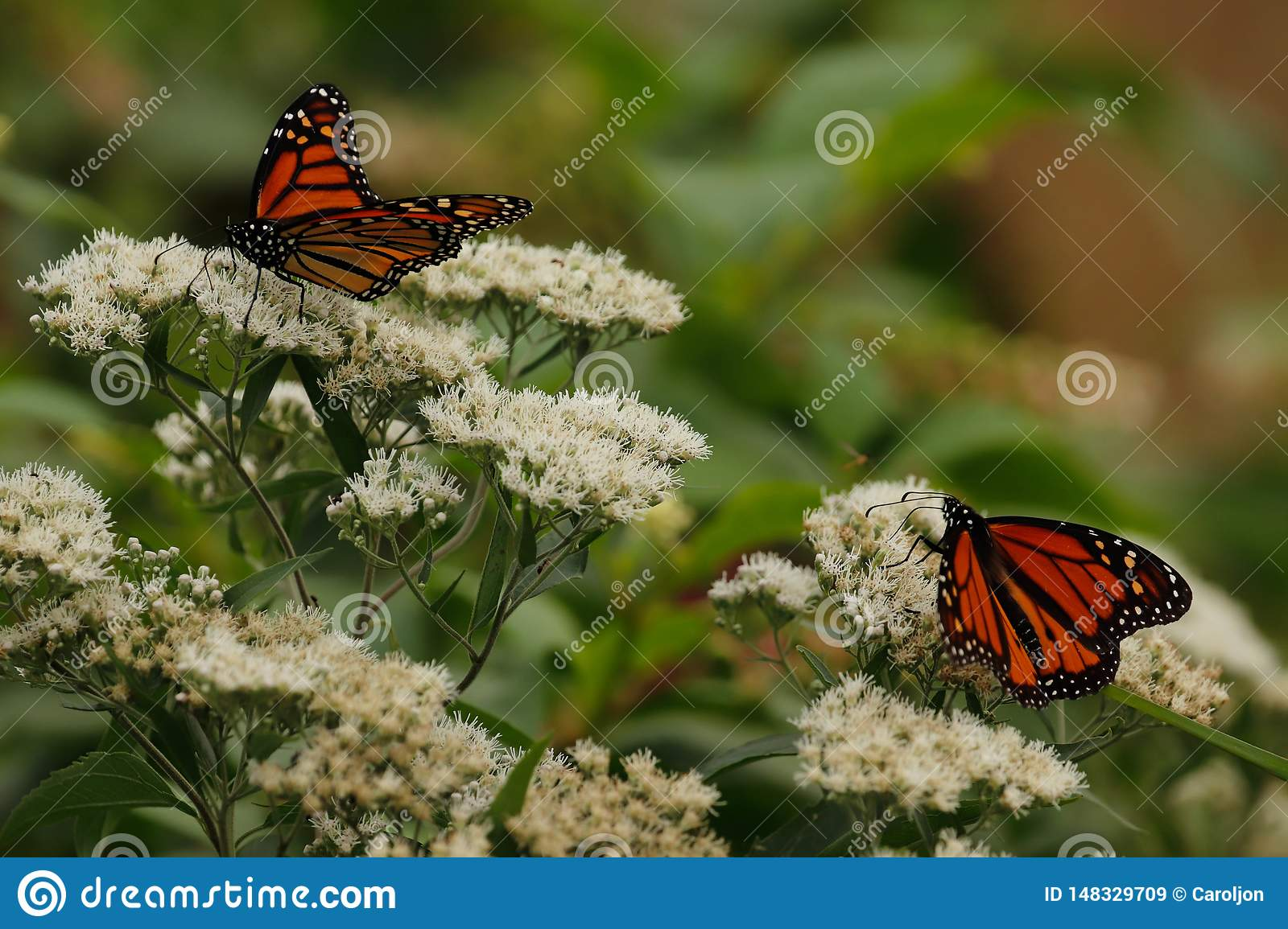 Monarch butterflies on white wild flowers in the late summer..