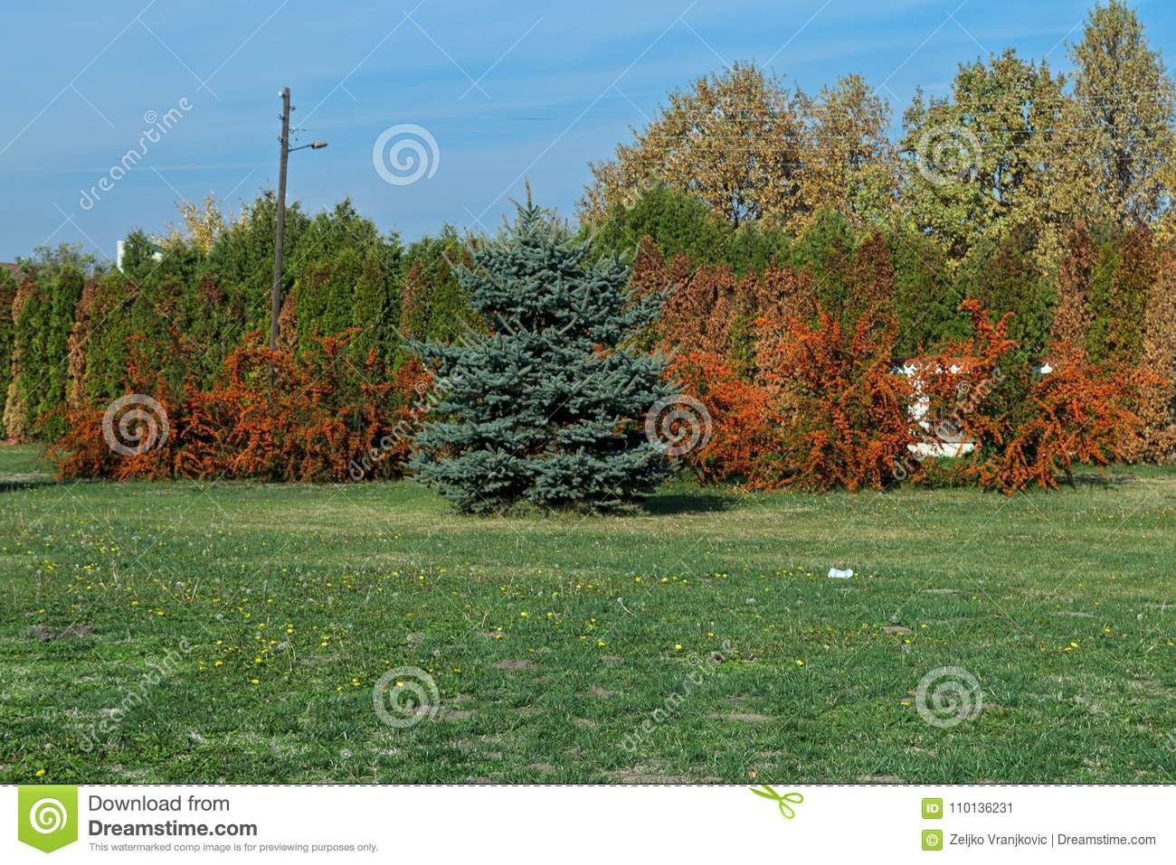 Several Sea Buckthorn trees with Christmas tree in front of them
