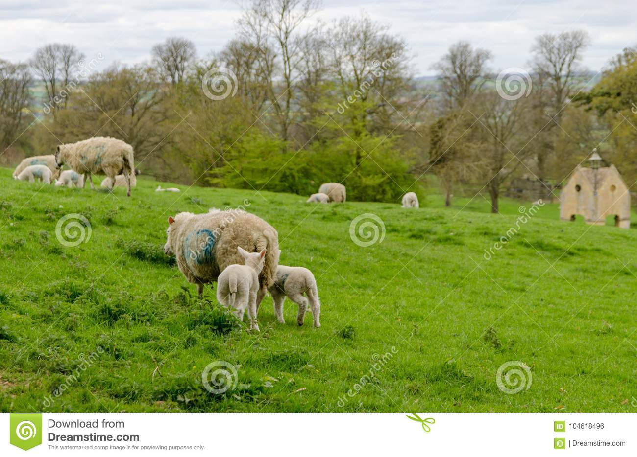 sheep and lambs grazing in a field stock photo image of animal