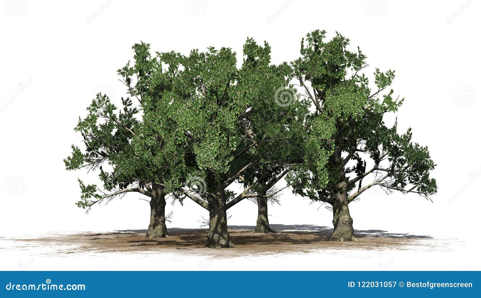 Several Southern Magnolia Tree Stock Illustration Illustration Of