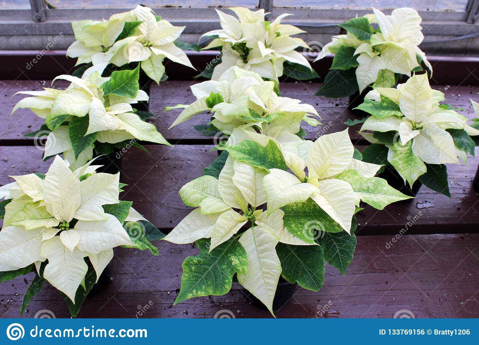 Several Stunning Potted Poinsettia Plants In The Bright White