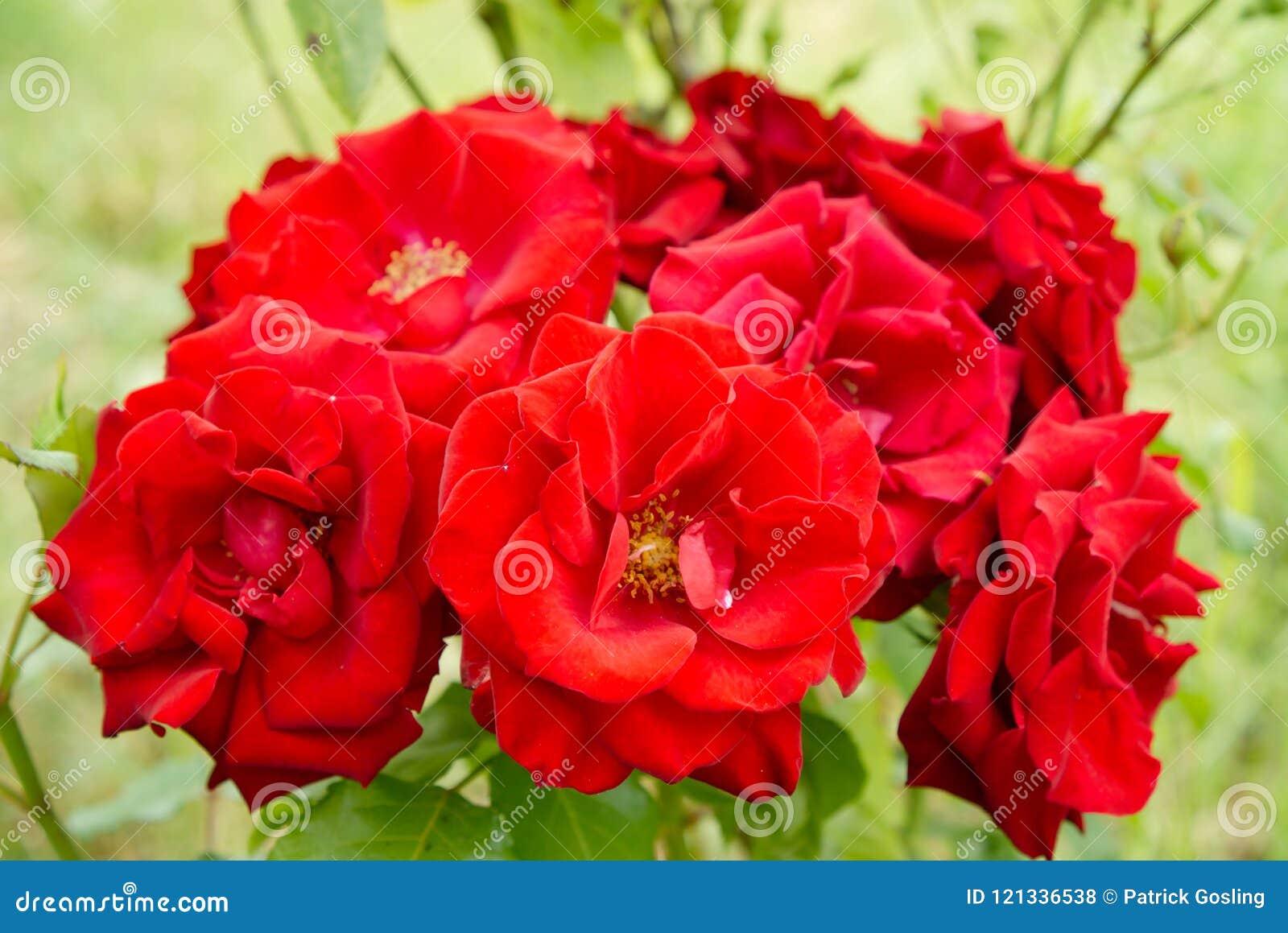 Red roses on the garden bush.