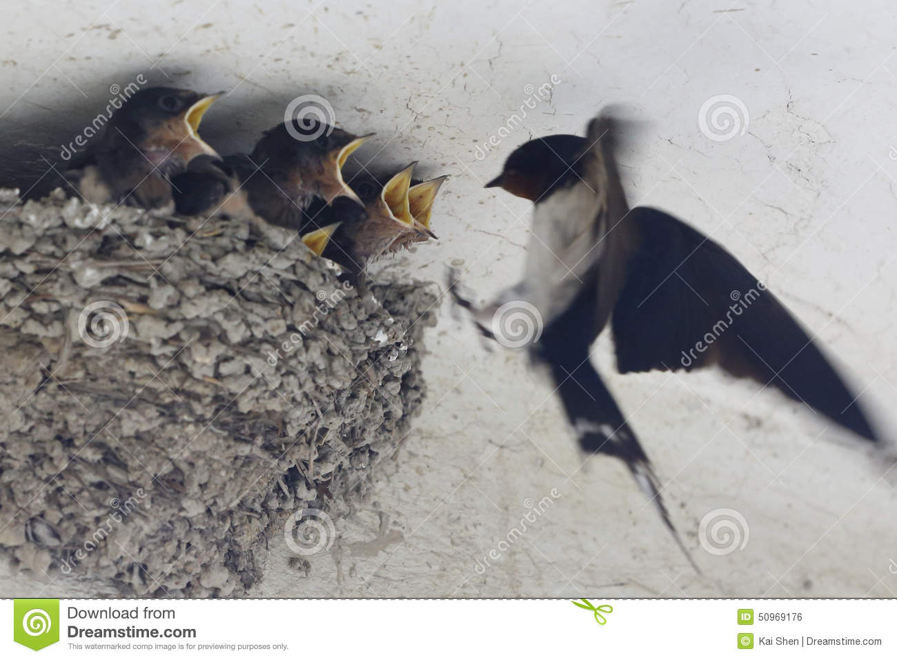 Several Young Only Swallow Mouth Waiting For Food Stock ...