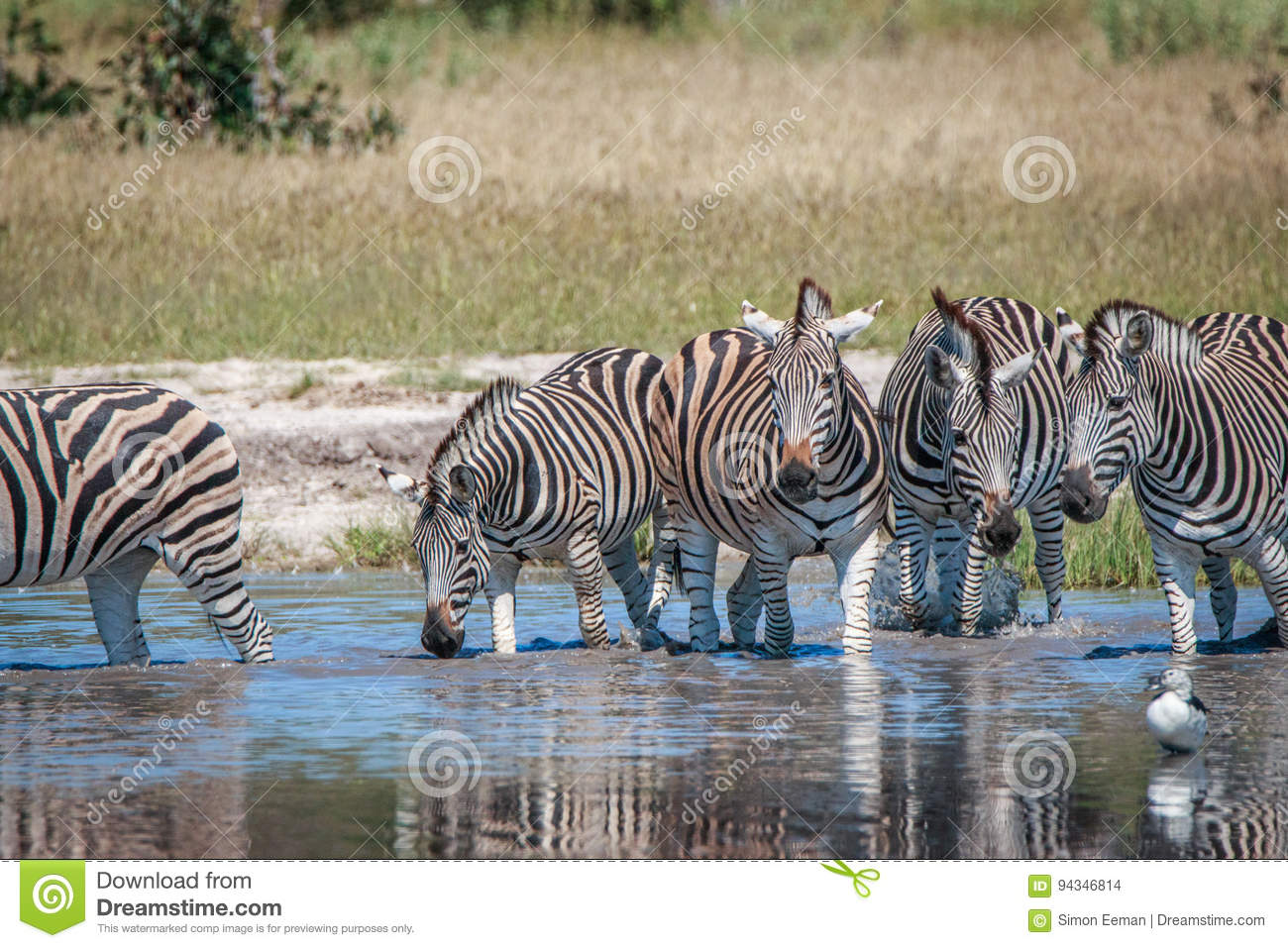 Several Zebras drinking in the Chobe.