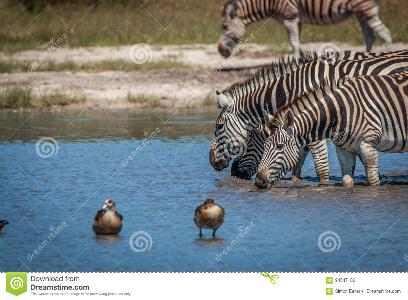 Several Zebras drinking in the waterhole