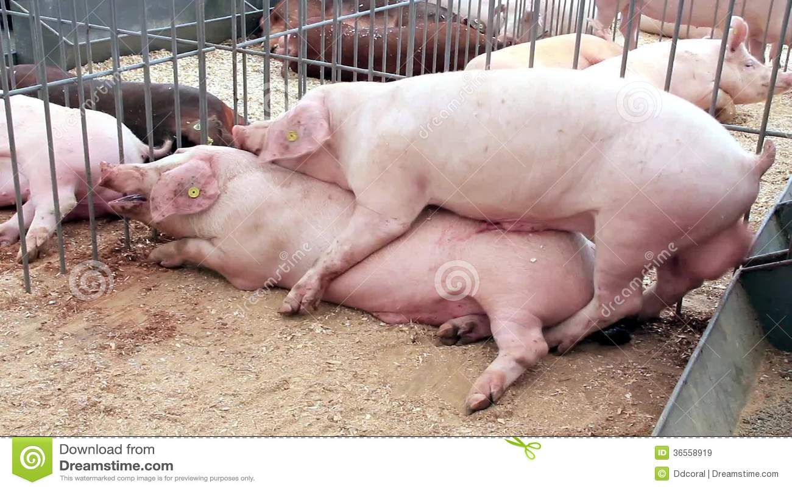Siros, Acostado, Actuación - Conceptos, Agricultura, Animal