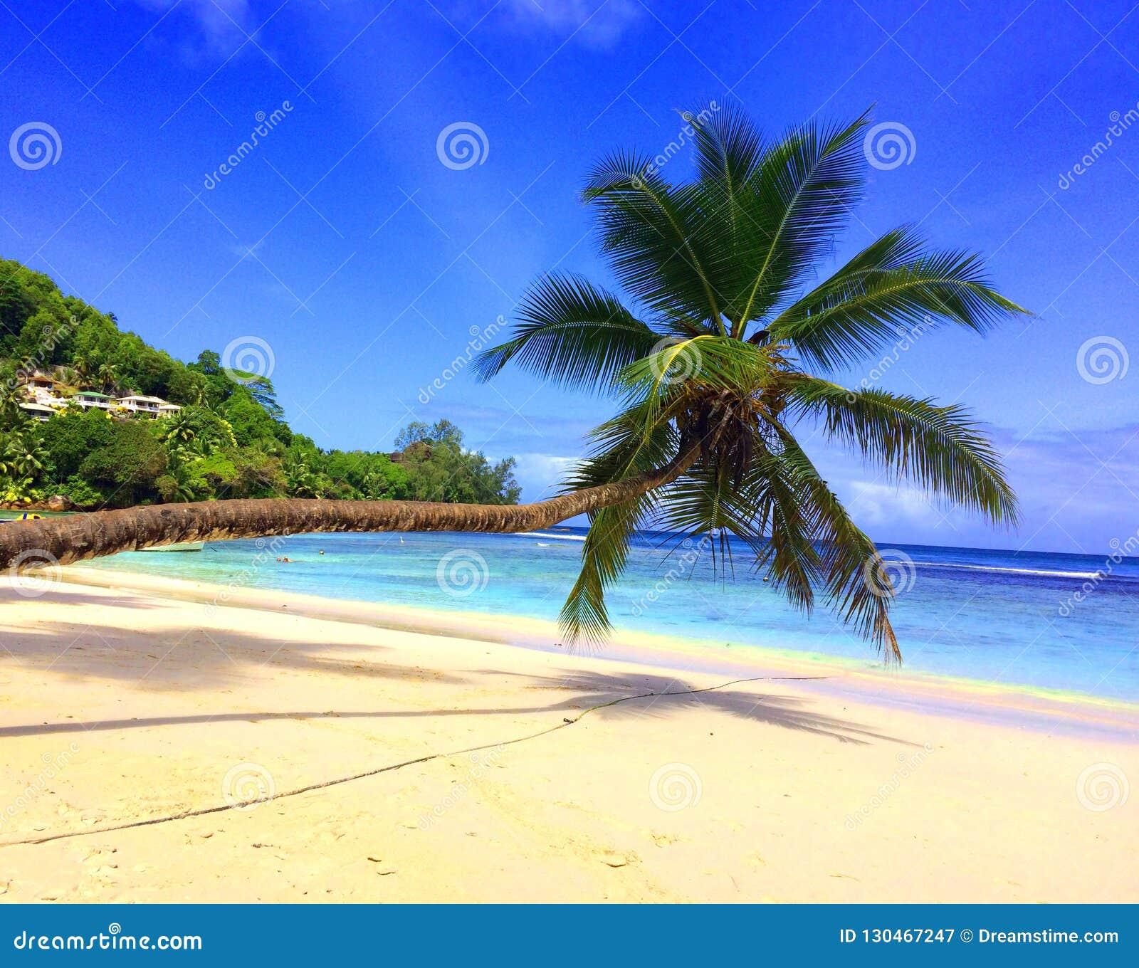 Seychellerna palmträd på stranden
