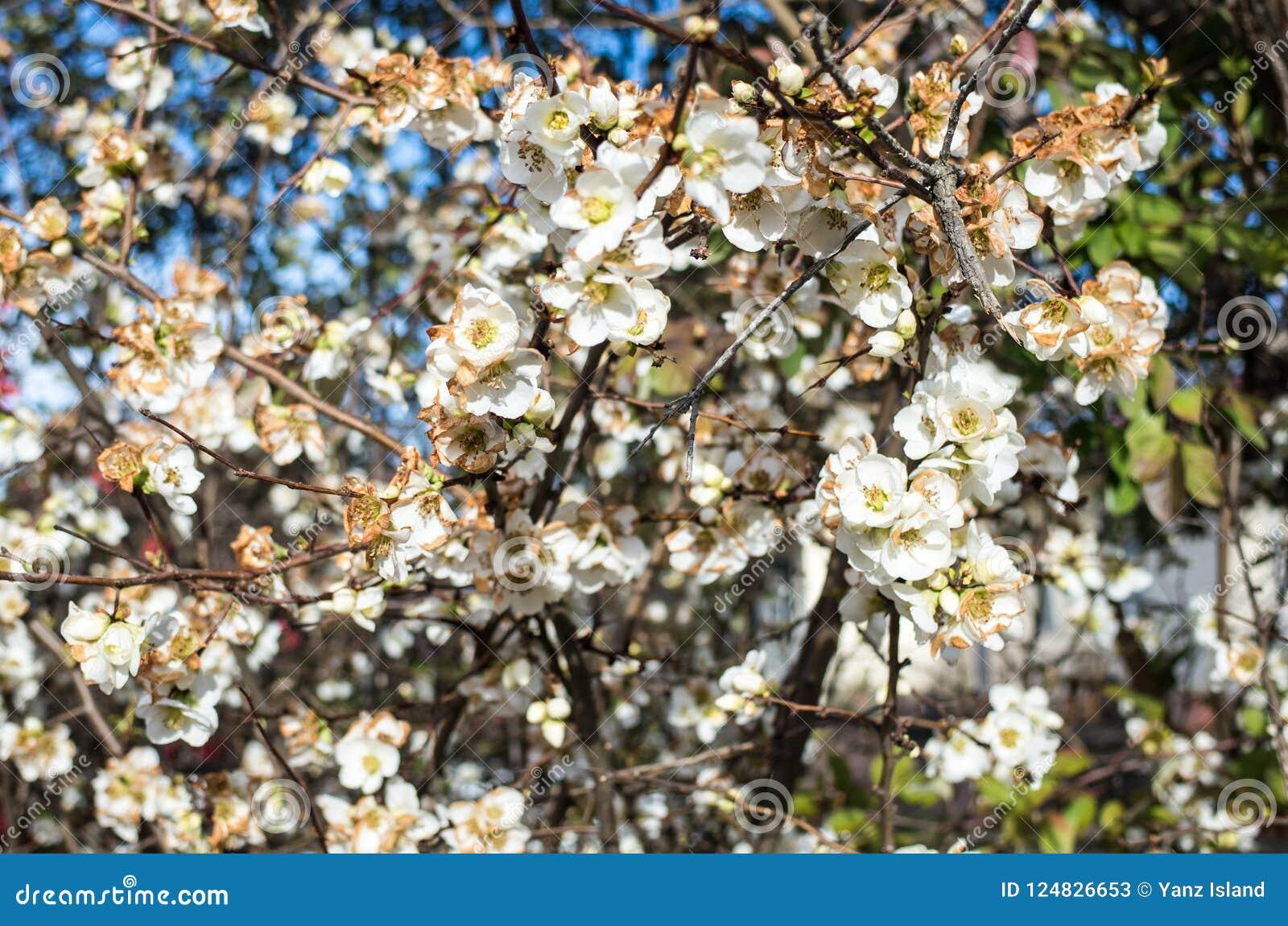Sezonowa wiosna kwitnie drzewa tło fartuch