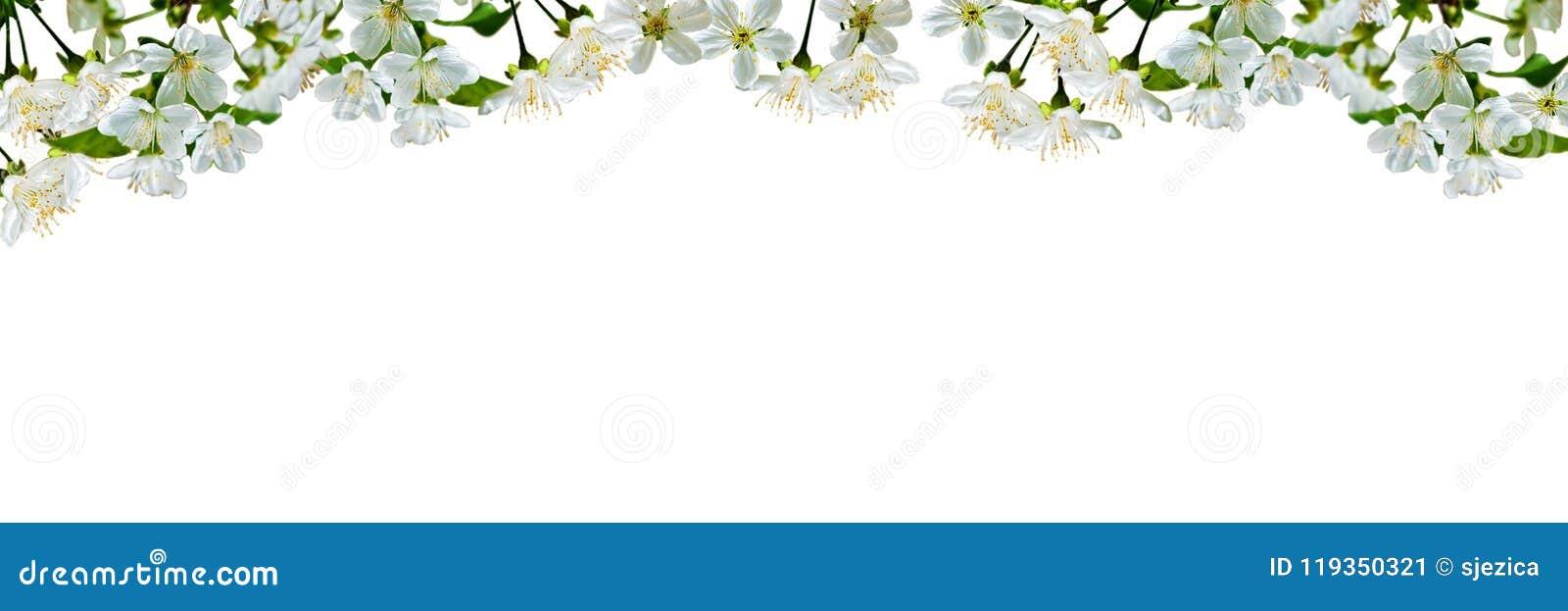 Sfondo naturale con i fiori e le foglie della ciliegia
