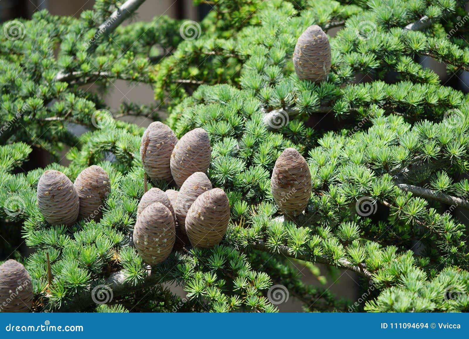 Sfondo naturale con i rami attillati verdi ed i grandi coni