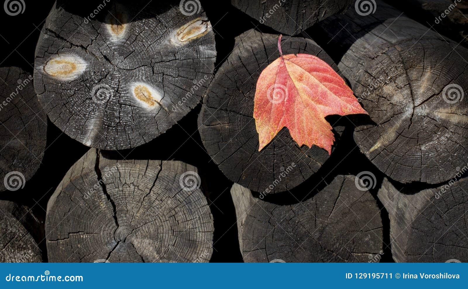 Sfondo naturale dei ceppi di legno con una foglia di autunno disboscamento segheria Costruzione