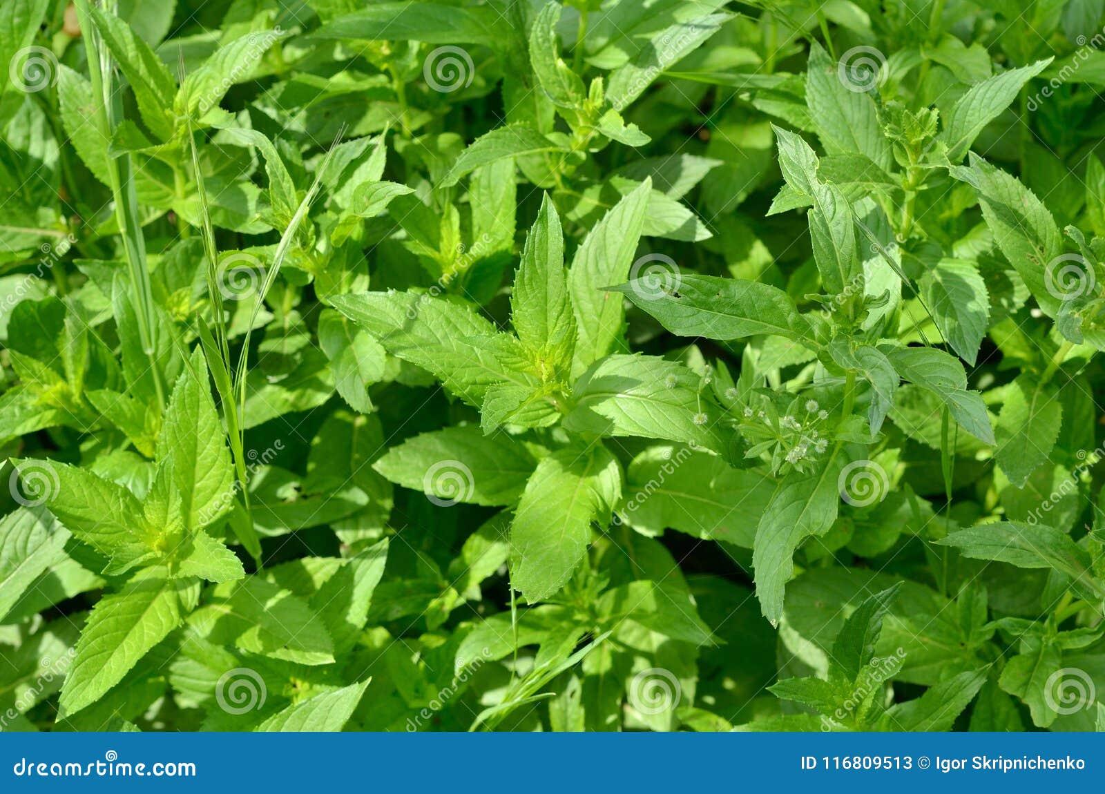 Sfondo naturale dei germogli verdi della menta Struttura