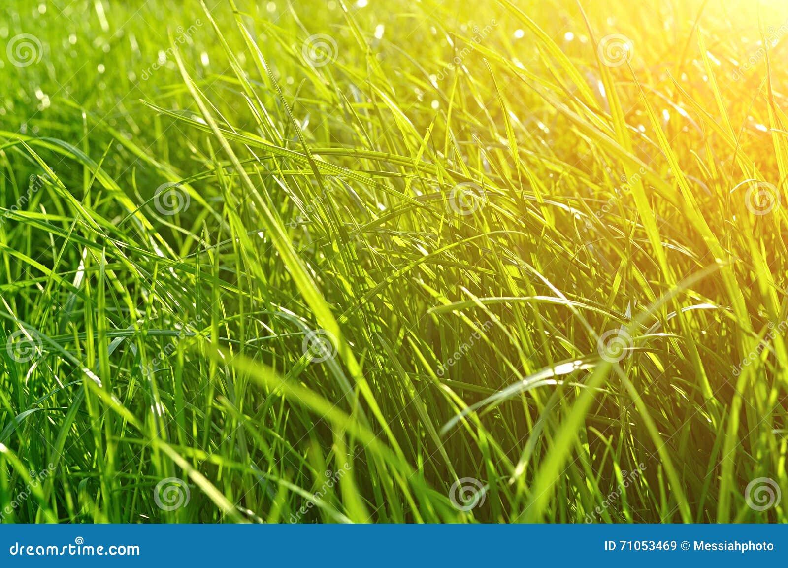 Sfondo Naturale Di Estate Primo Piano Di Erba Verde Fresca Sul
