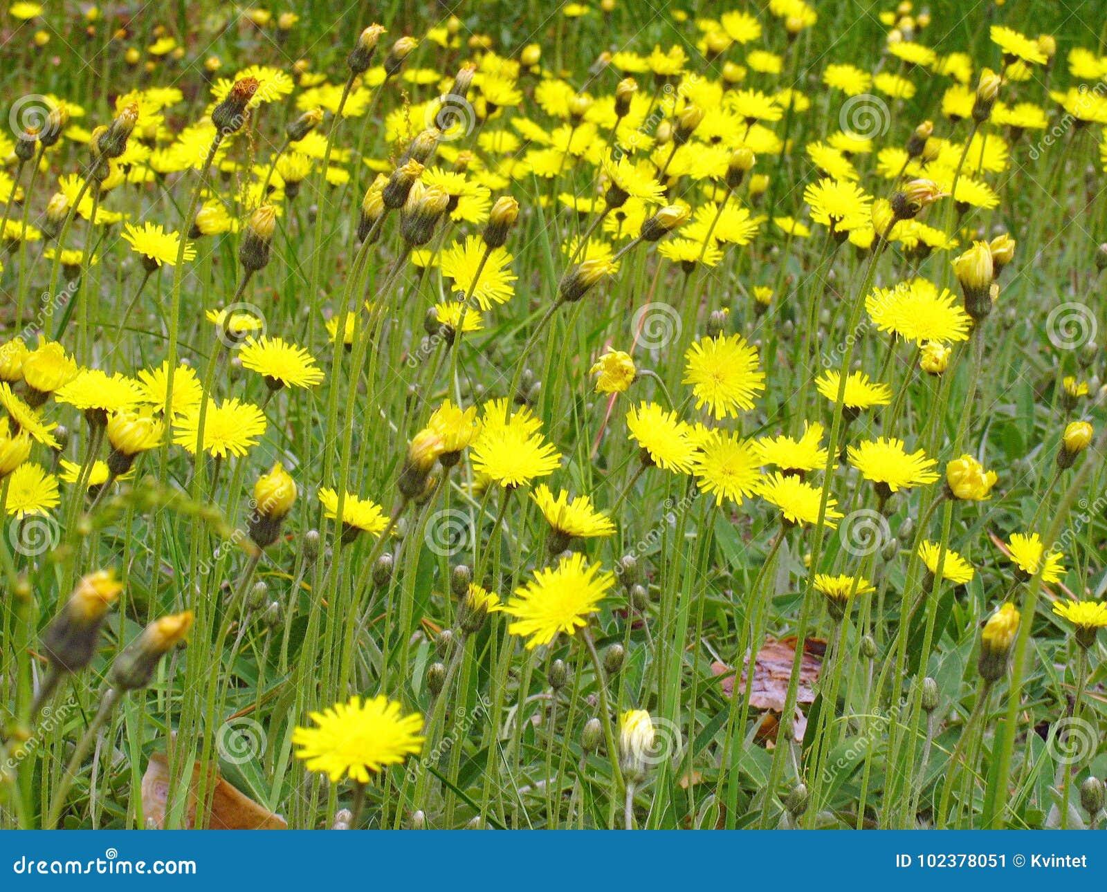 Fiori Gialli Maggio.Sfondo Naturale Di Vegetazione Verde Con I Fiori Gialli Immagine