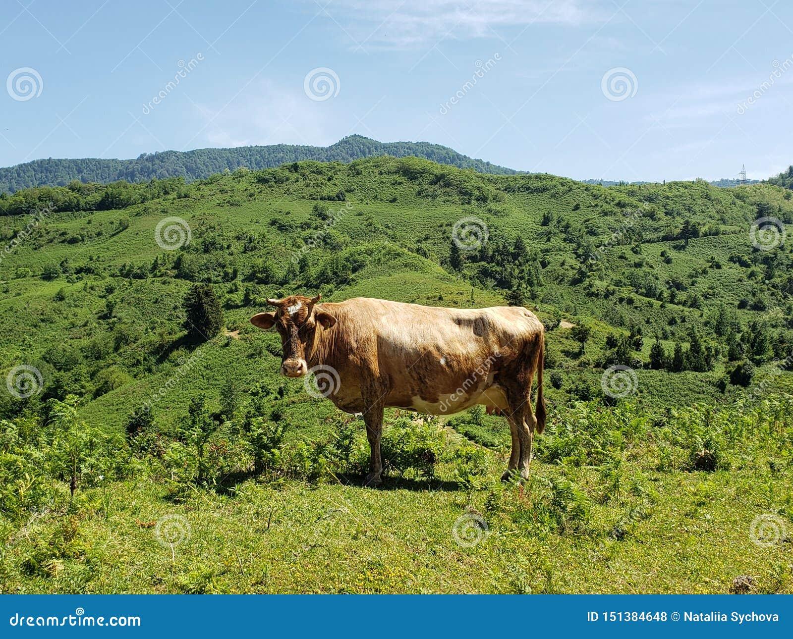 Sguardo fisso della mucca
