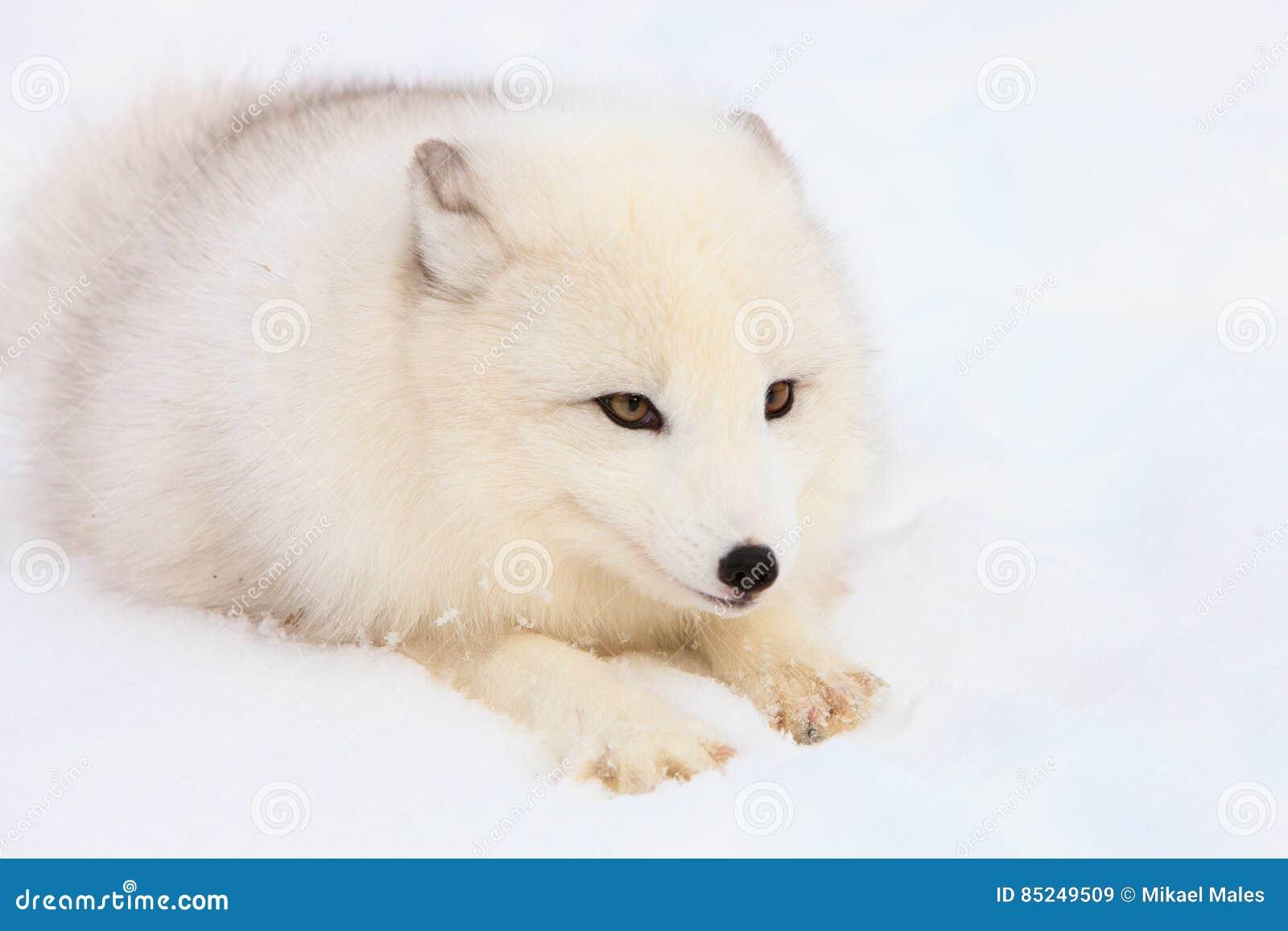 Sguardo fisso intenso della volpe artica