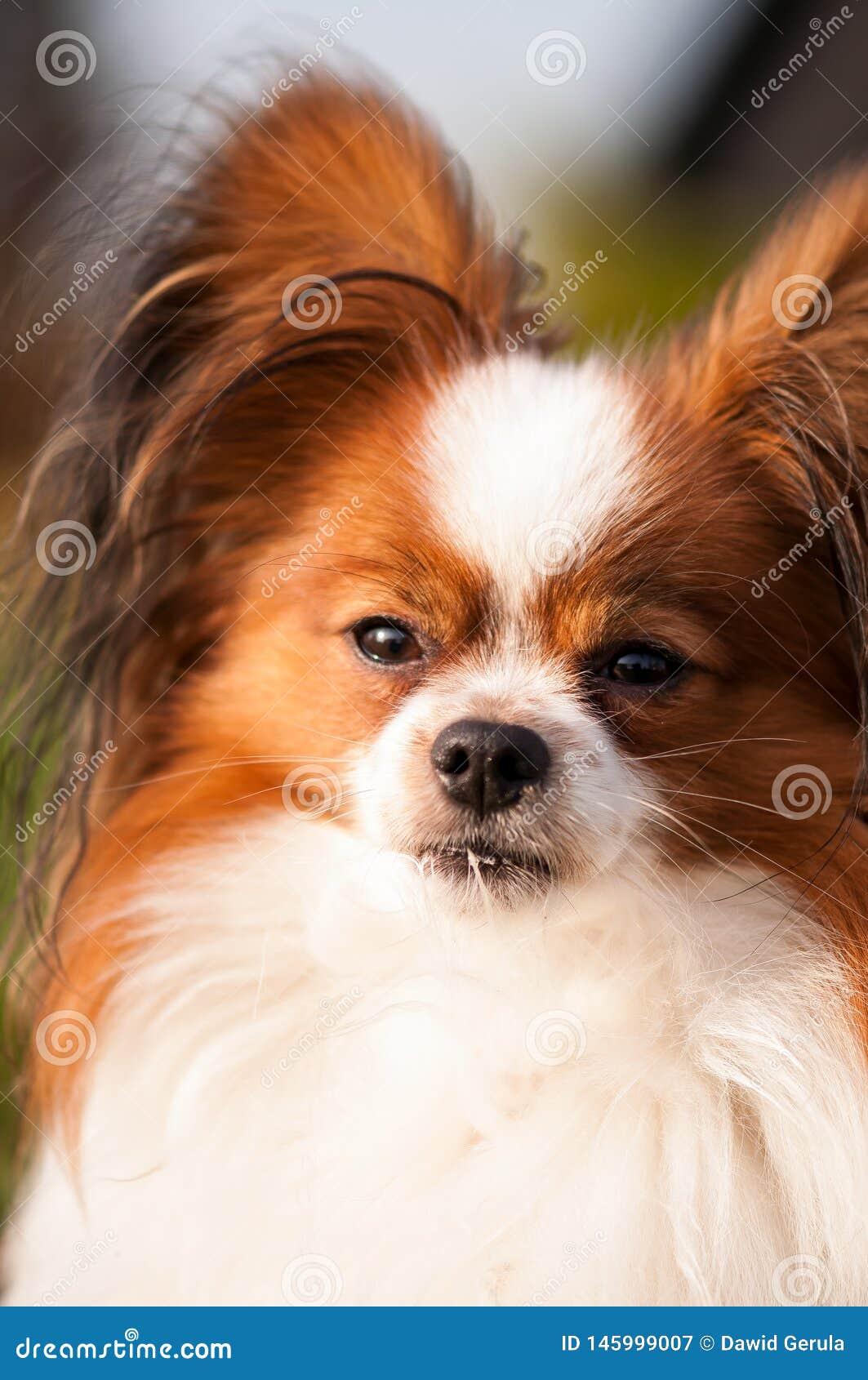 Sguardo serio del cane del papillon