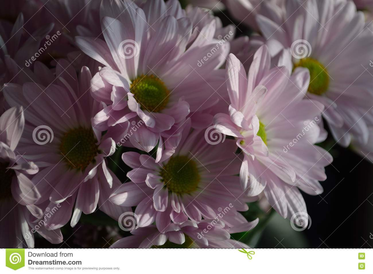 Shadow bright contrast Pink Daisies