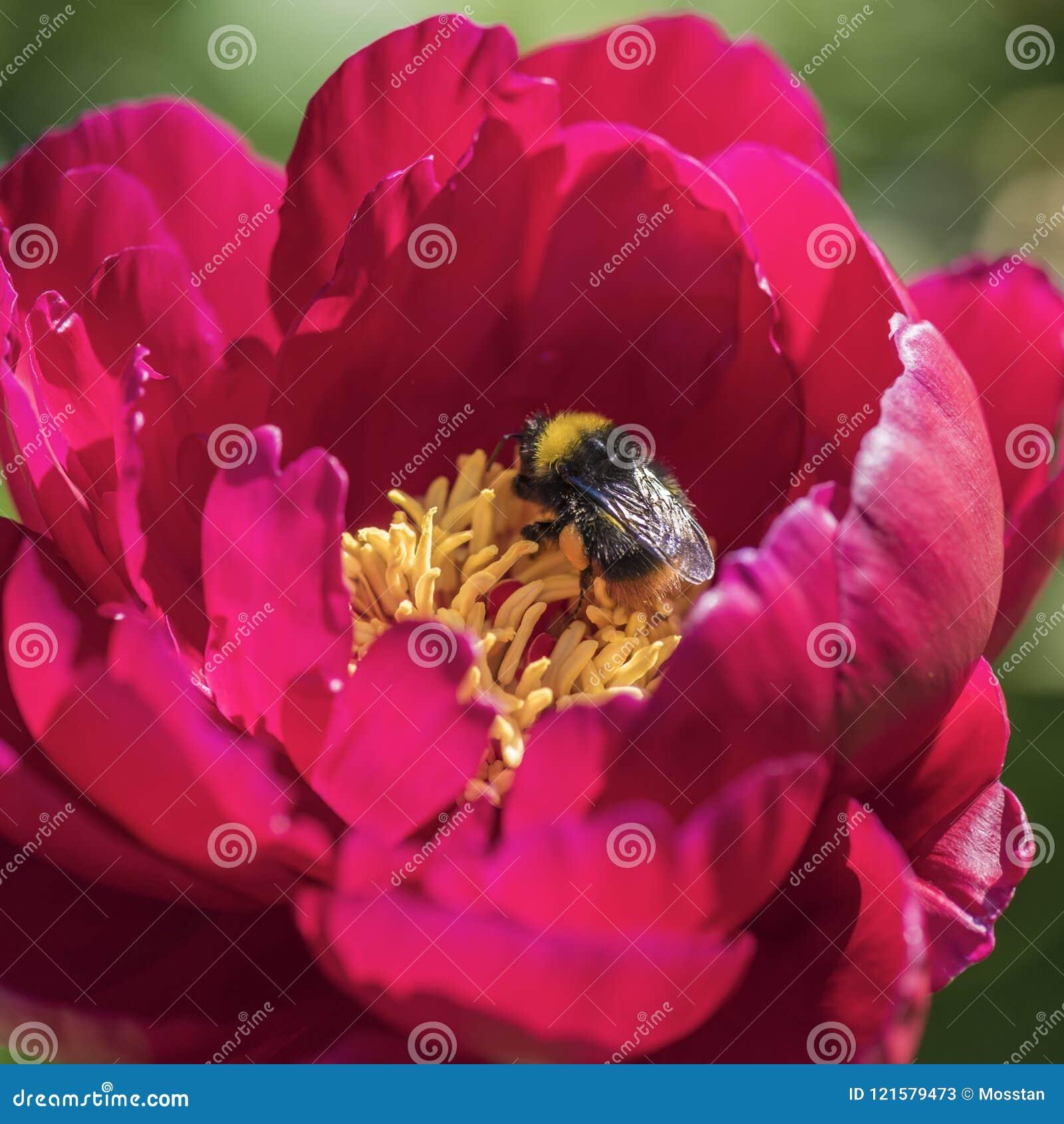 Shaggy Bumblebee op een roze pion