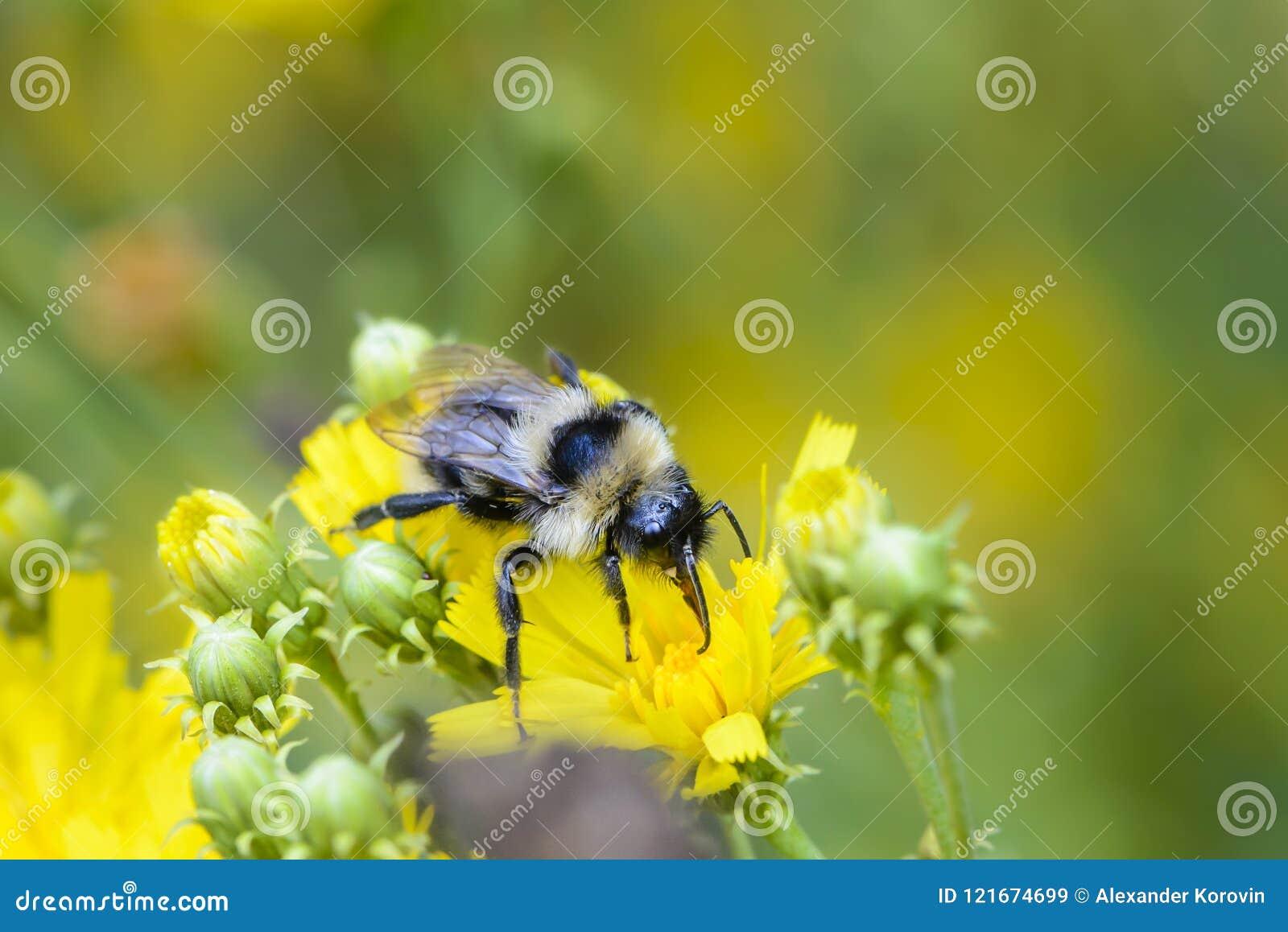 Shaggy Bumblebee verzamelt nectar