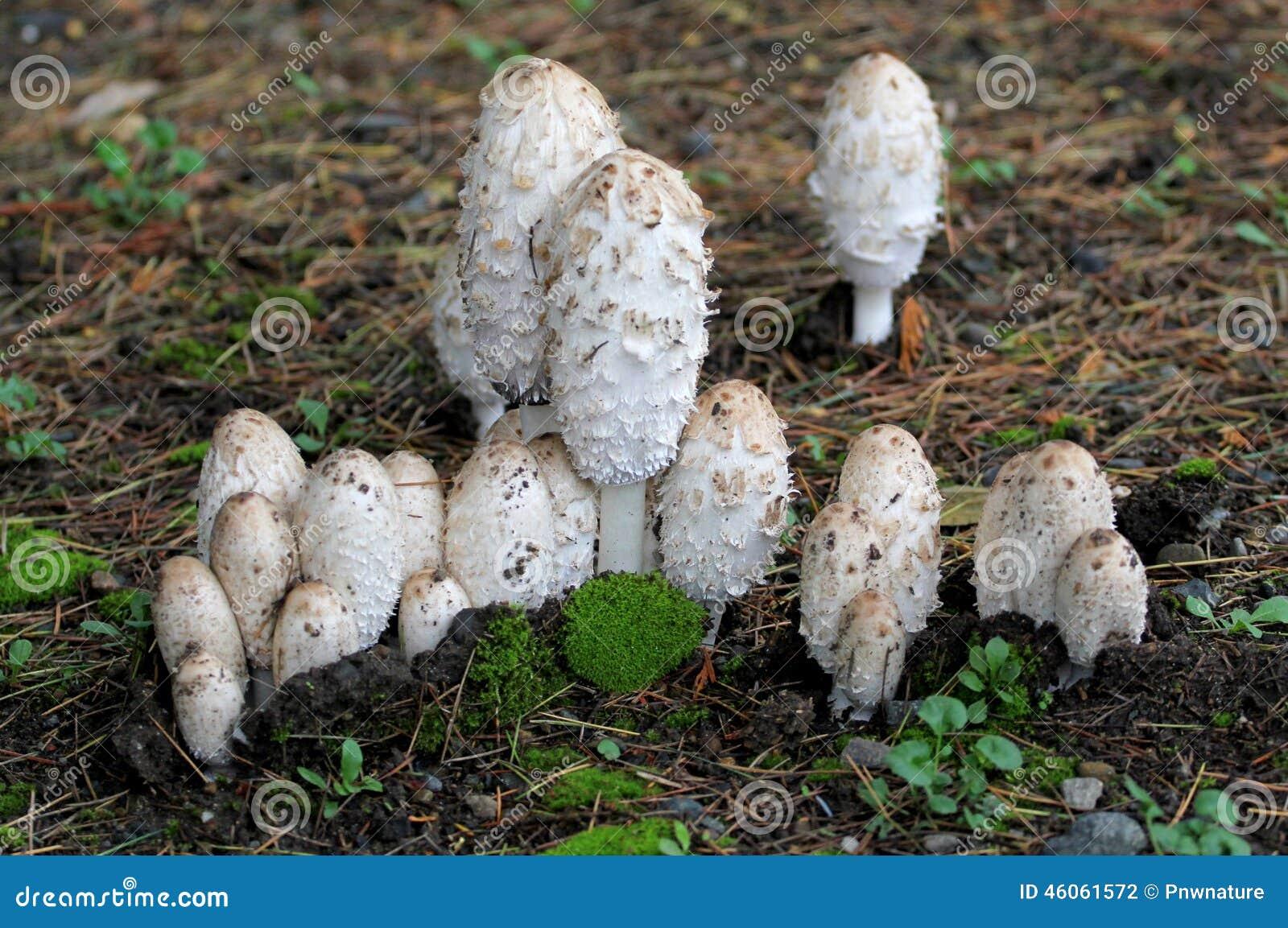 Shaggy Mane Mushrooms - Coprinus Comatus